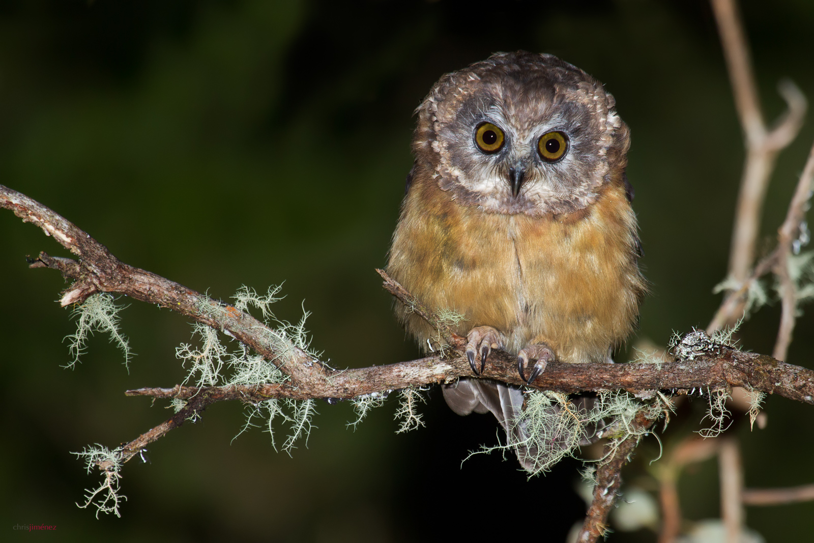 Unspotted Saw-whet Owl in Costa Rica