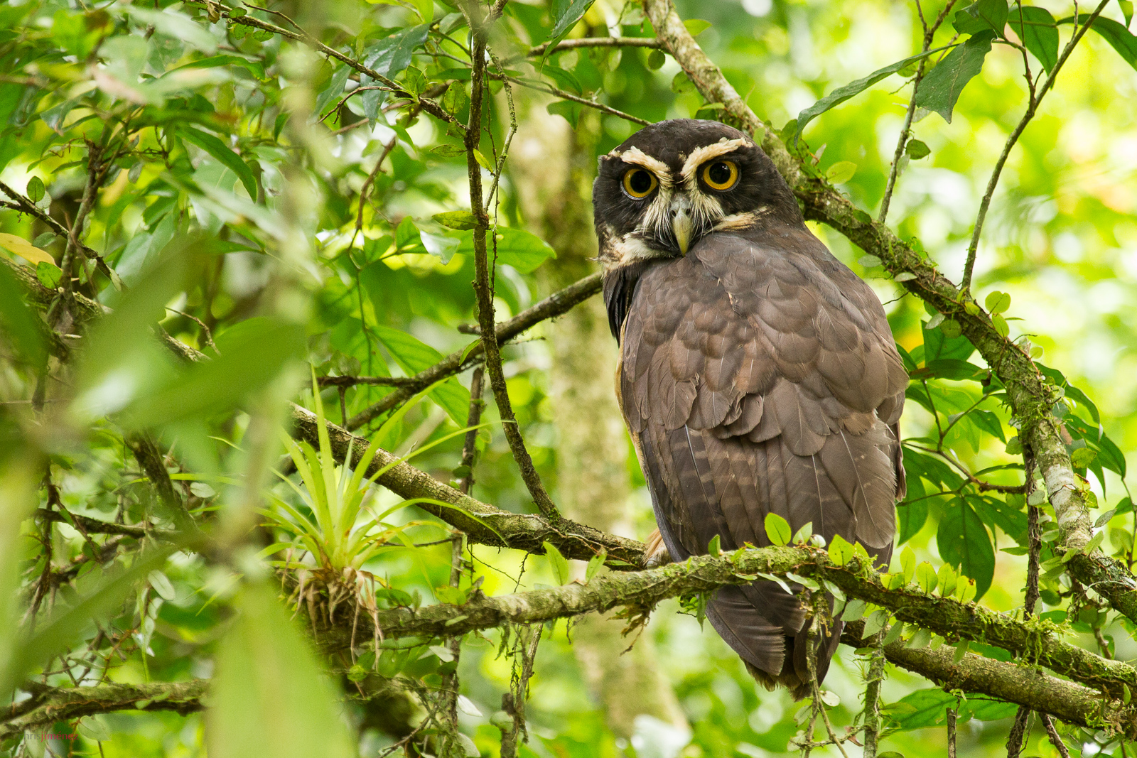 Spectacle Owl perched on a branch at the low lands of Costa Rica