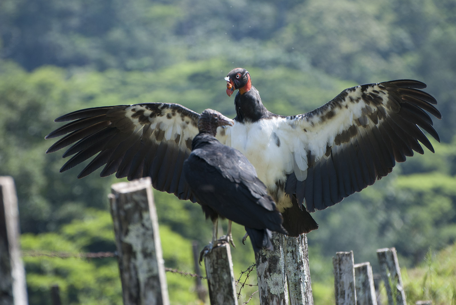 King Vulture spreading its wings at the lowlands of Costa Rica