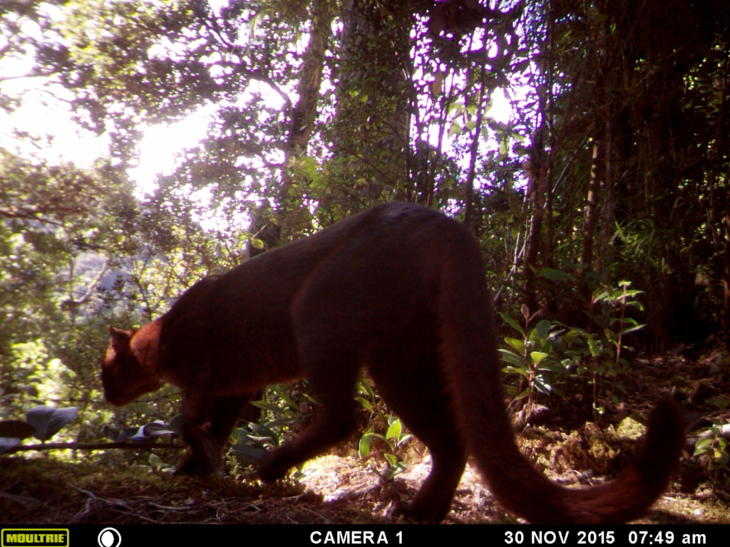 Yaguarundi (Puma Yaguarundi) at the highlands of Costa Rica, 2600 mts, San Gerardo de Dota