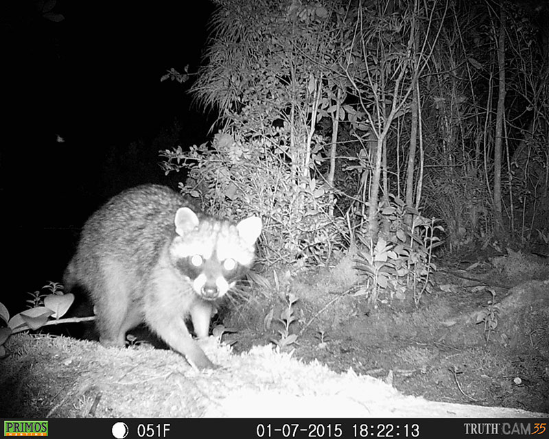 Raccoon (Procyon lotor) checking out the camera