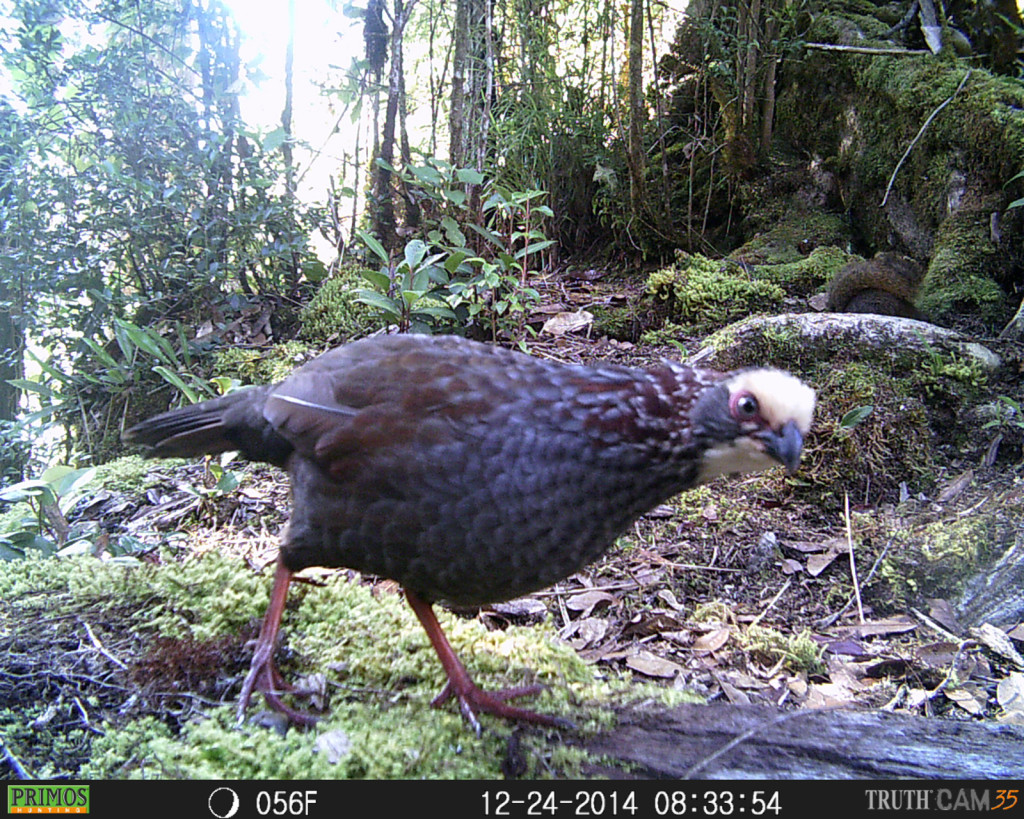 Buffy-crowned wood partridge (Dendrortyx leucophrys) curious about the camera