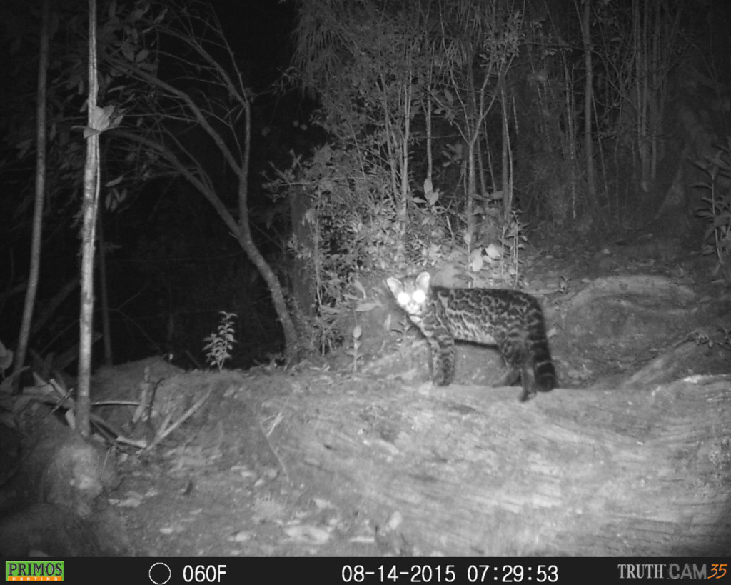 Oncilla (leopardus tigrinus) at the highlands of Costa Rica