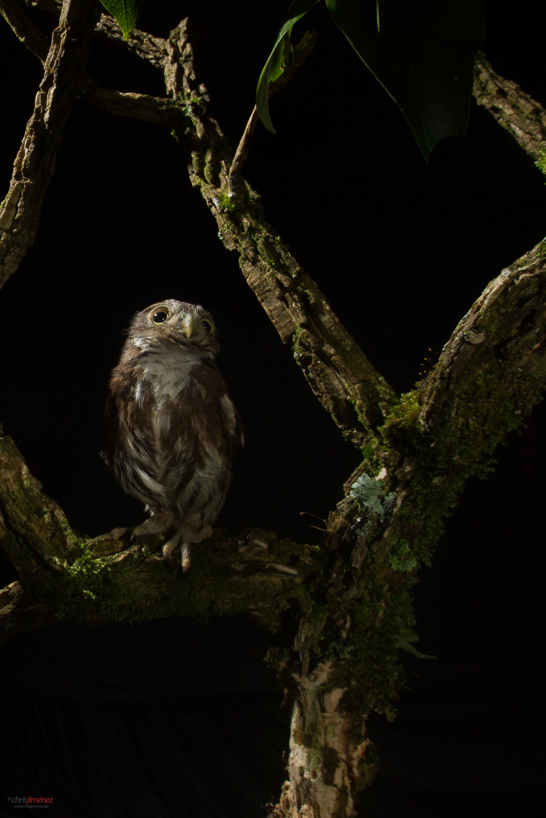 Ferruginous pygmy owl perched on a branch at night at the pacific lowlands of Costa Rica