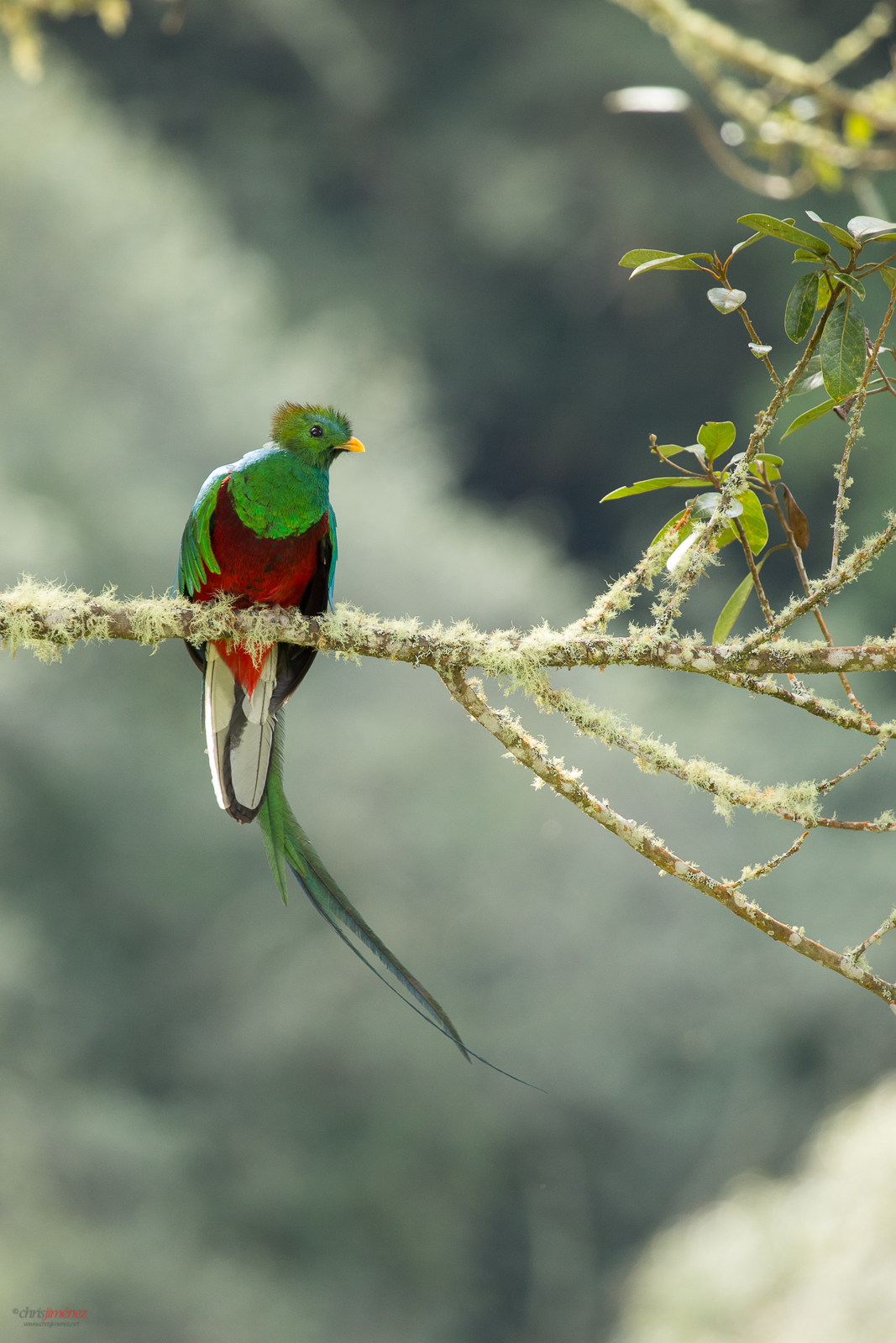 Resplendent Quetzal perched in the Highlands of Costa Rica in the morning