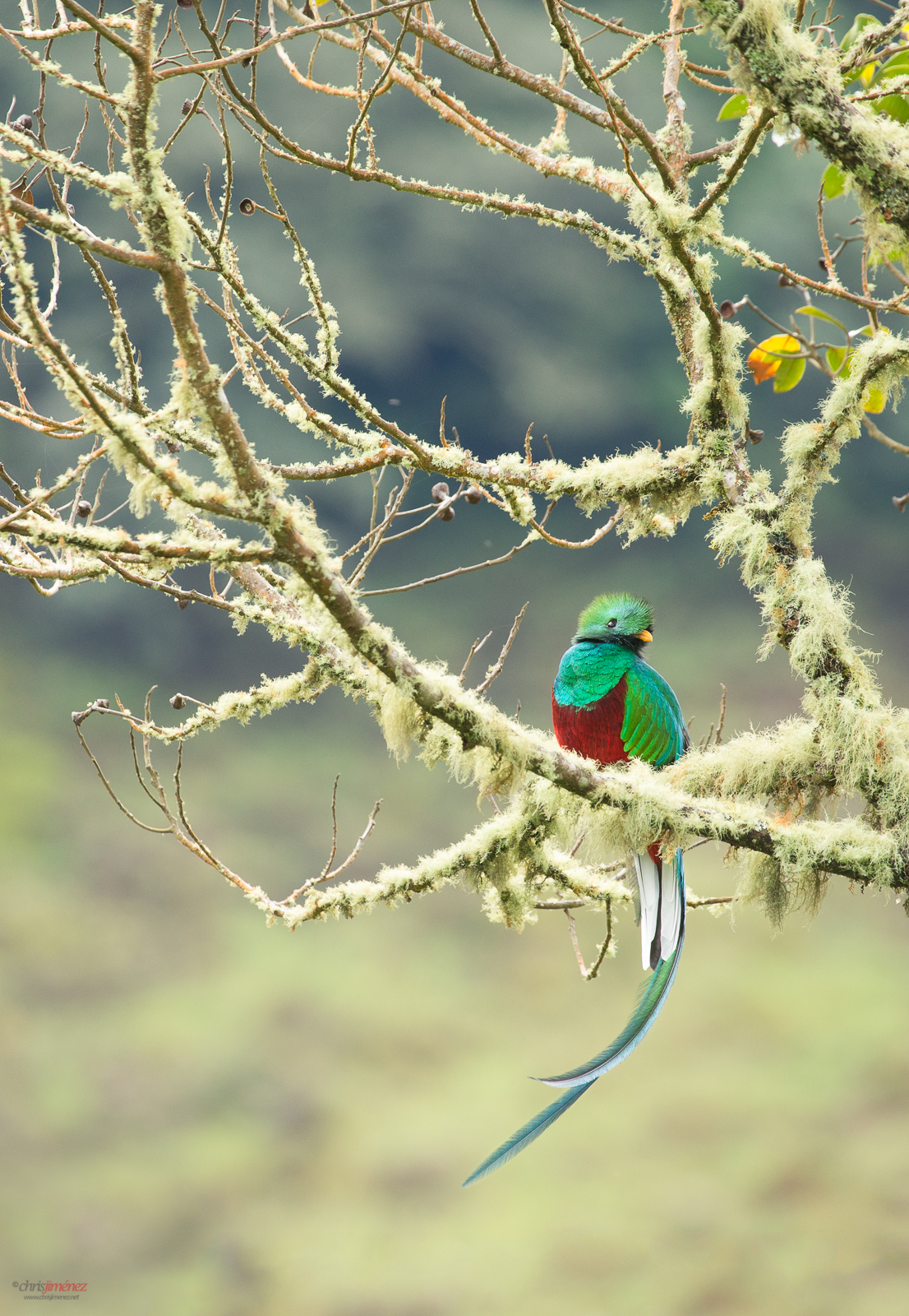 Resplendent Quetzal perched on a mossy branch at the highlands of Costa Rica