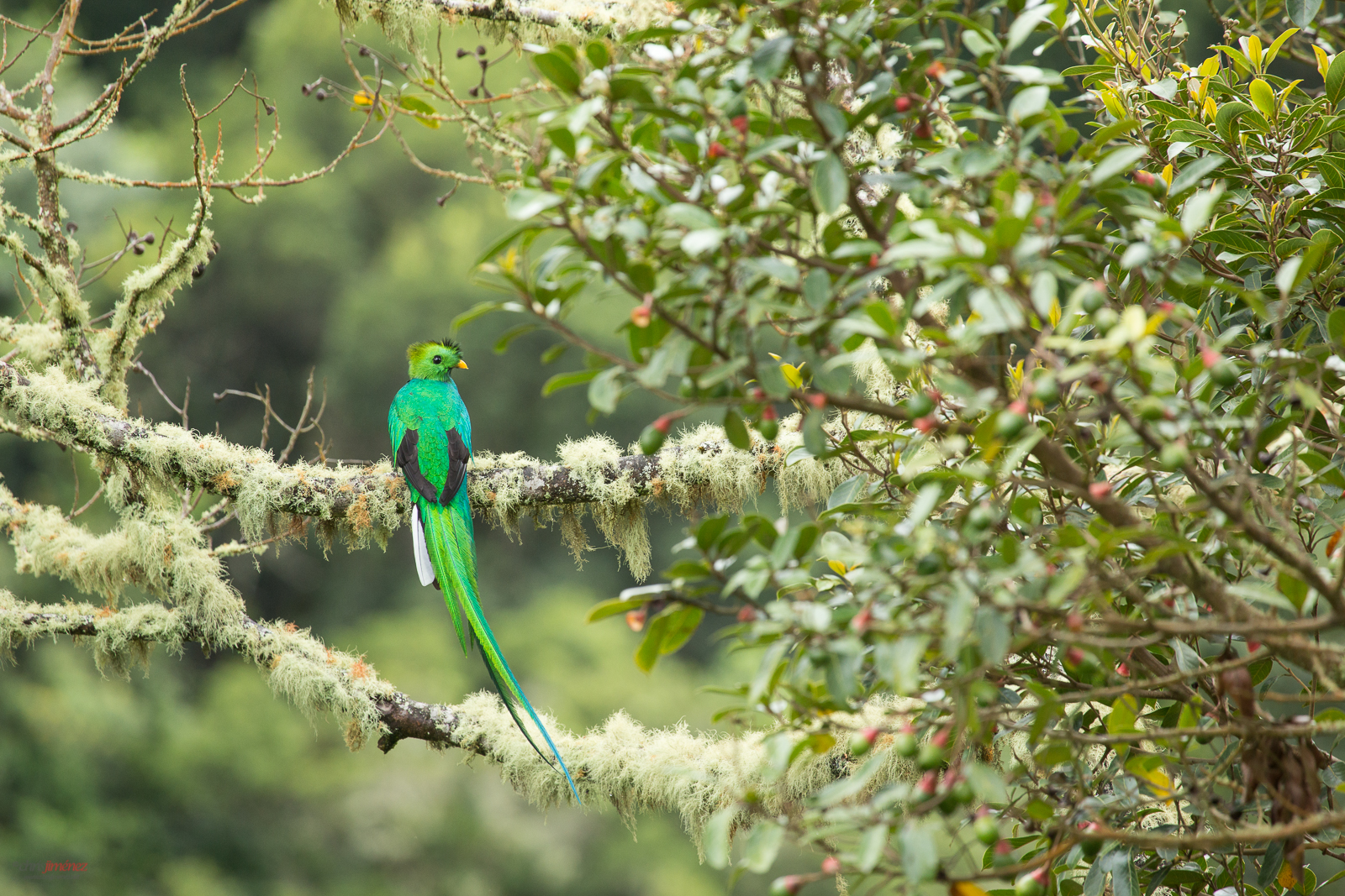 Resplendent Quetzal perched on a mossy branch