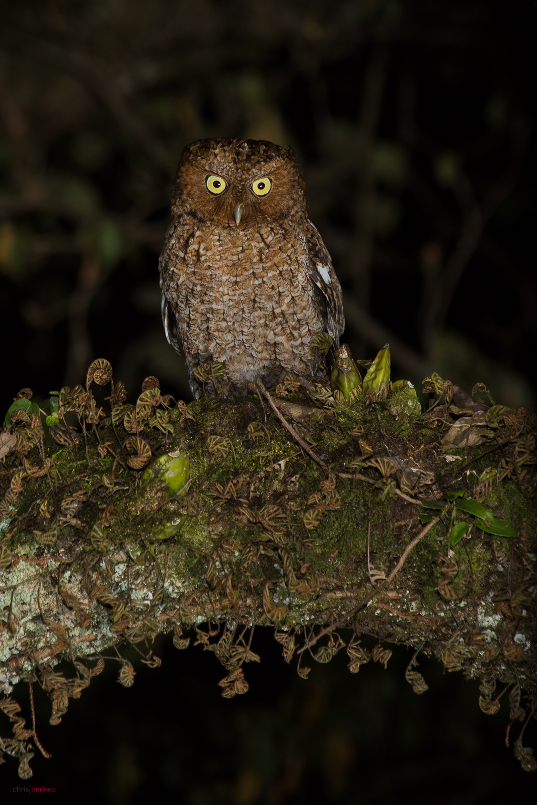 Bare-shanked Screech Owl (Megascops clarkii) perched on a arched branch at the Highlands of Costa Rica.