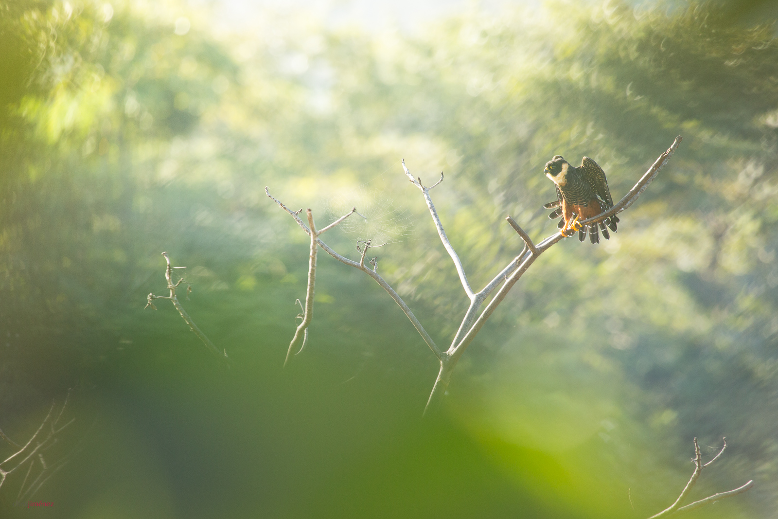 Bat Falcon perched on the morning at the lowlands of Costa Rica