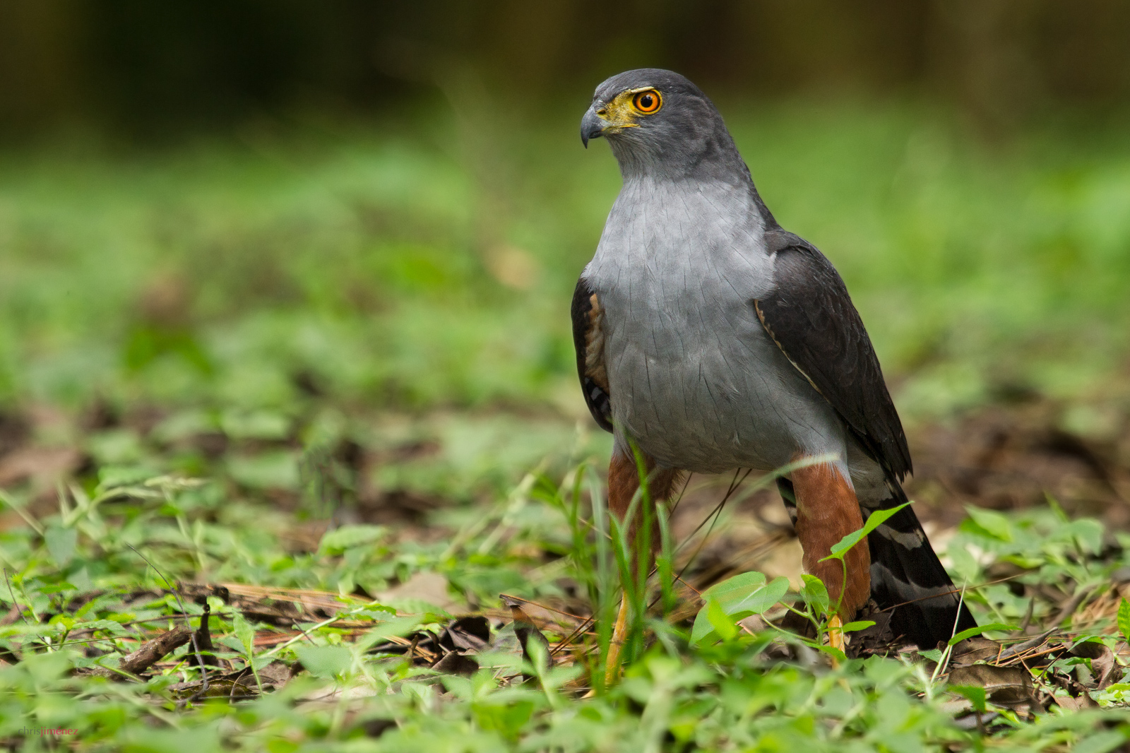 Bicoloured Hawk (Accipiter bicolor) at Carrizal, Costa Rica. For more visit http://www.chrisjimenez.net