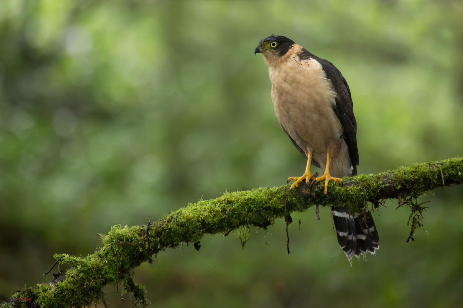 Bicoloured Hawk (Accipiter bicolor) juvenile perched on a mossy branch in the rain at the highlands of Costa Rica