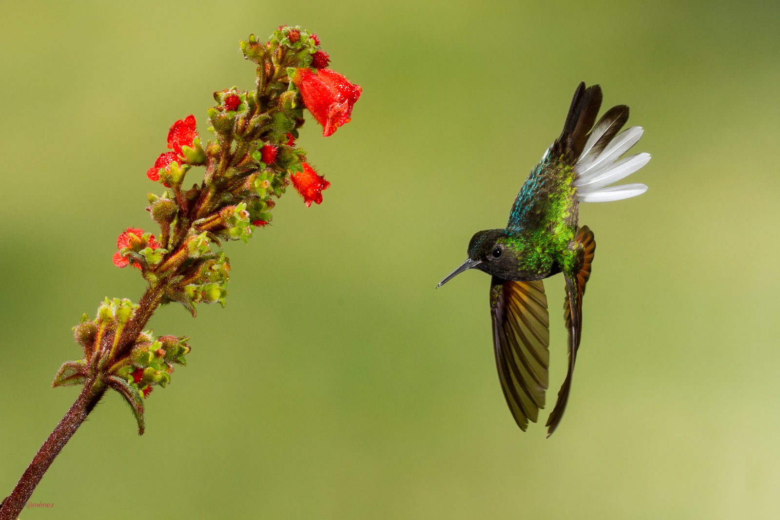 Black-bellied Hummingbird (Eupherusa nigriventis) feeding from Flowers at Cinchona, Costa Rica.
