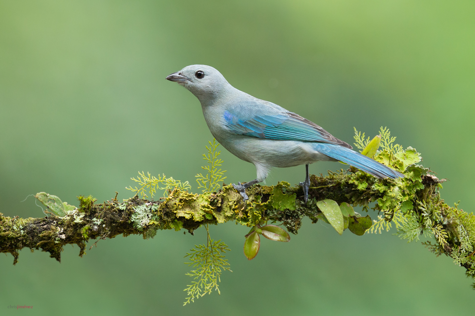 Blue-gray Tanager (Thraupis episcopus) perched on a branch at San Jose, Costa Rica