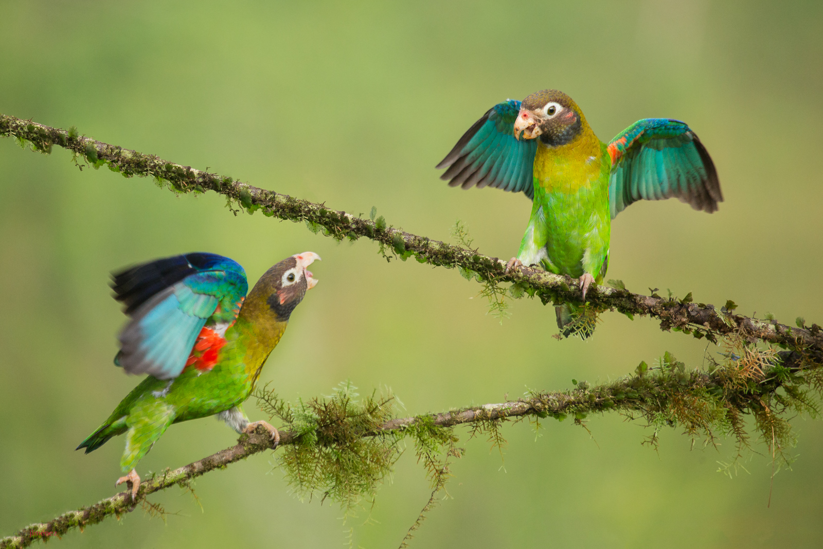 Brown-hooded Parrot (Pyrilia haematotis) pair perched on a branch at the low lands of Costa Rica