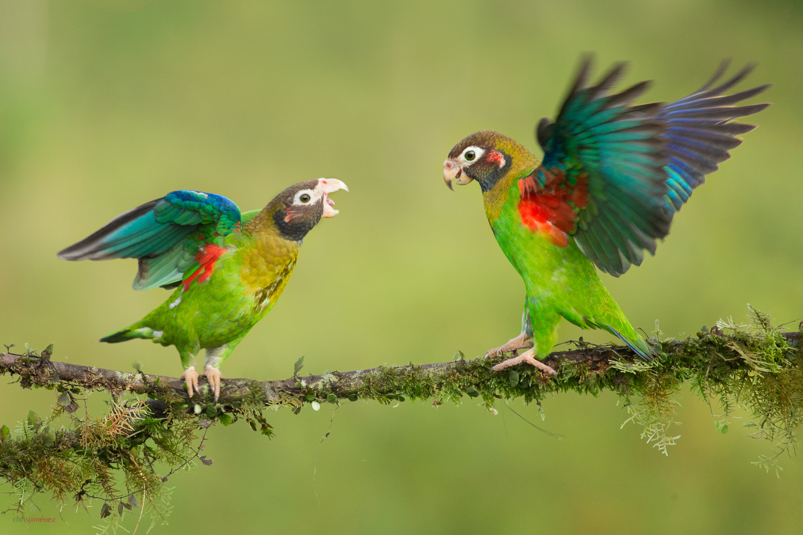 Brown-hooded Parrot (Pyrilia haematotis) displaying