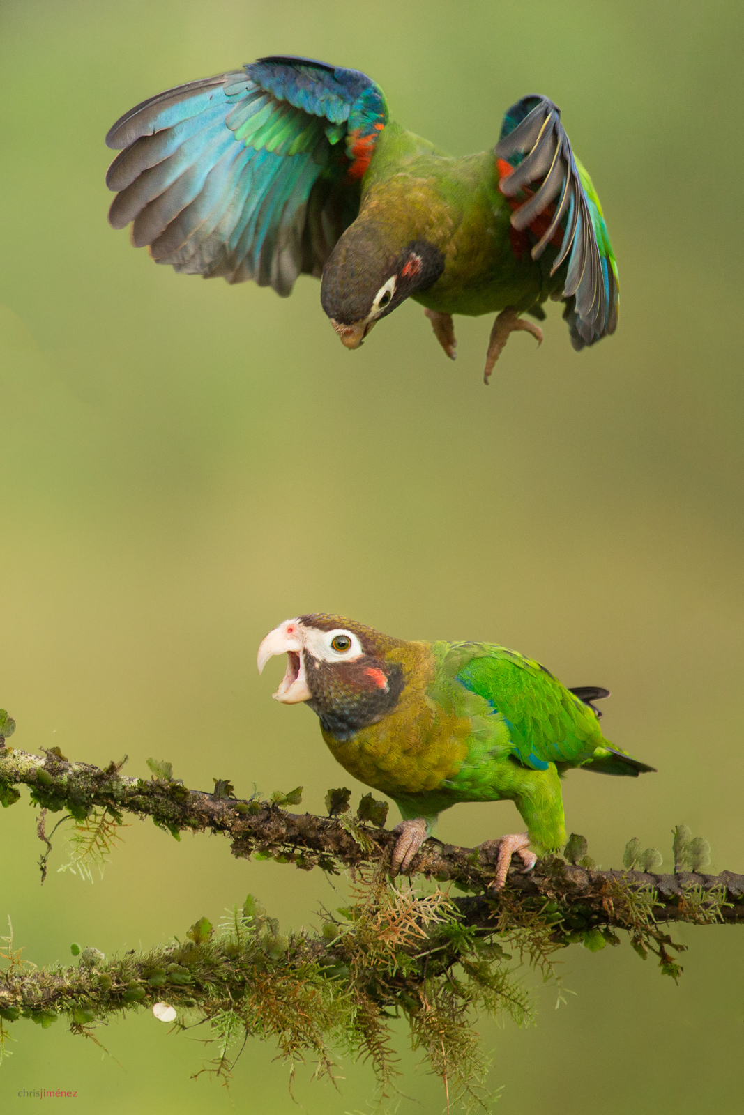 Brown-hooded Parrot (Pyrilia haematotis) in flight at the low lands of Costa Rica