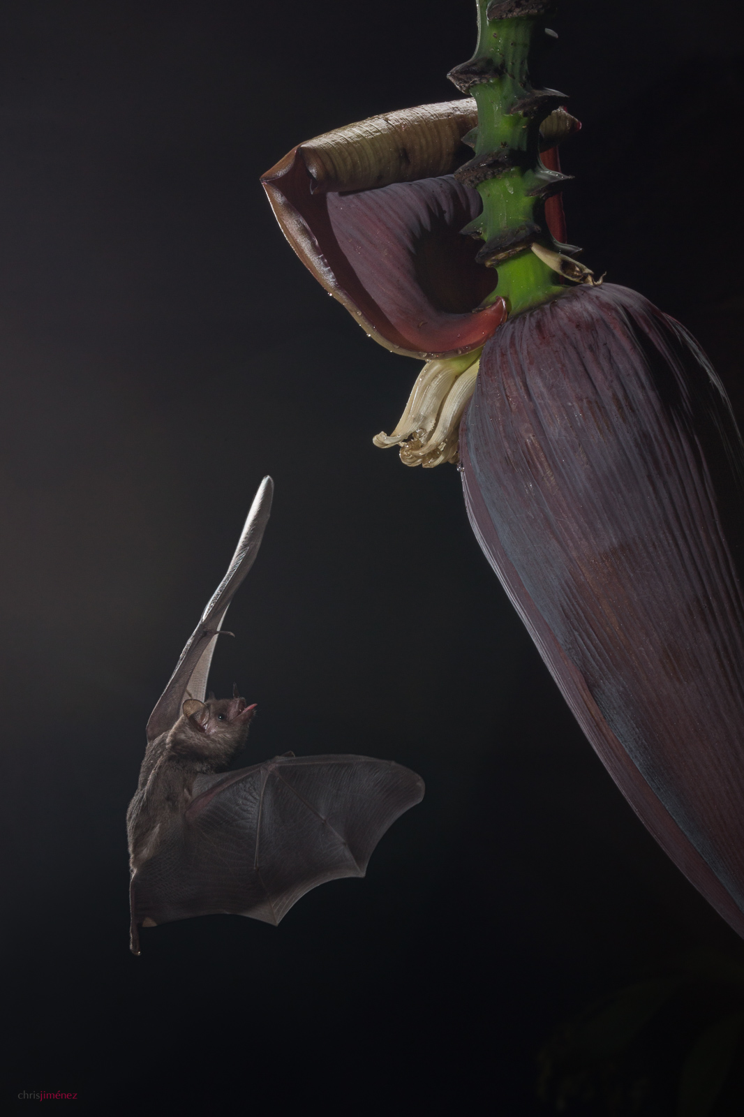 Common Long-tongued Bat(Glossophaga soricina) feeding from banana flowers, in San Jose Costa Rica