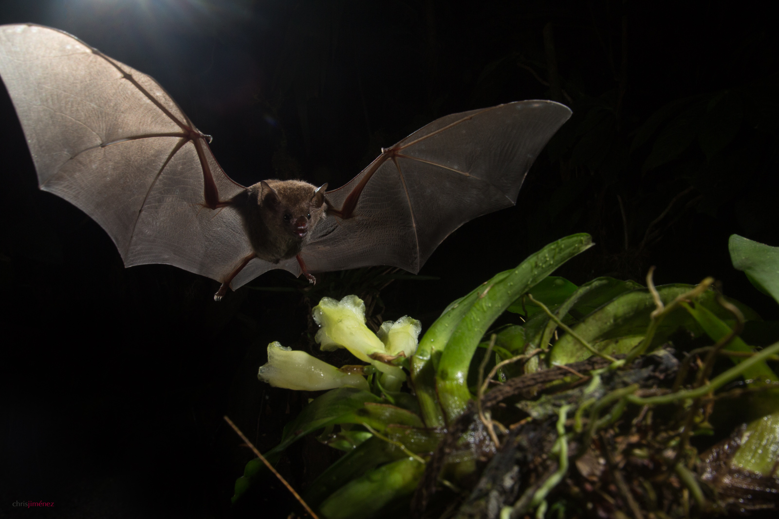 Common Long-tongued Bat(Glossophaga soricina) feeding from orquid flower at night at the low lands of Costa Rica