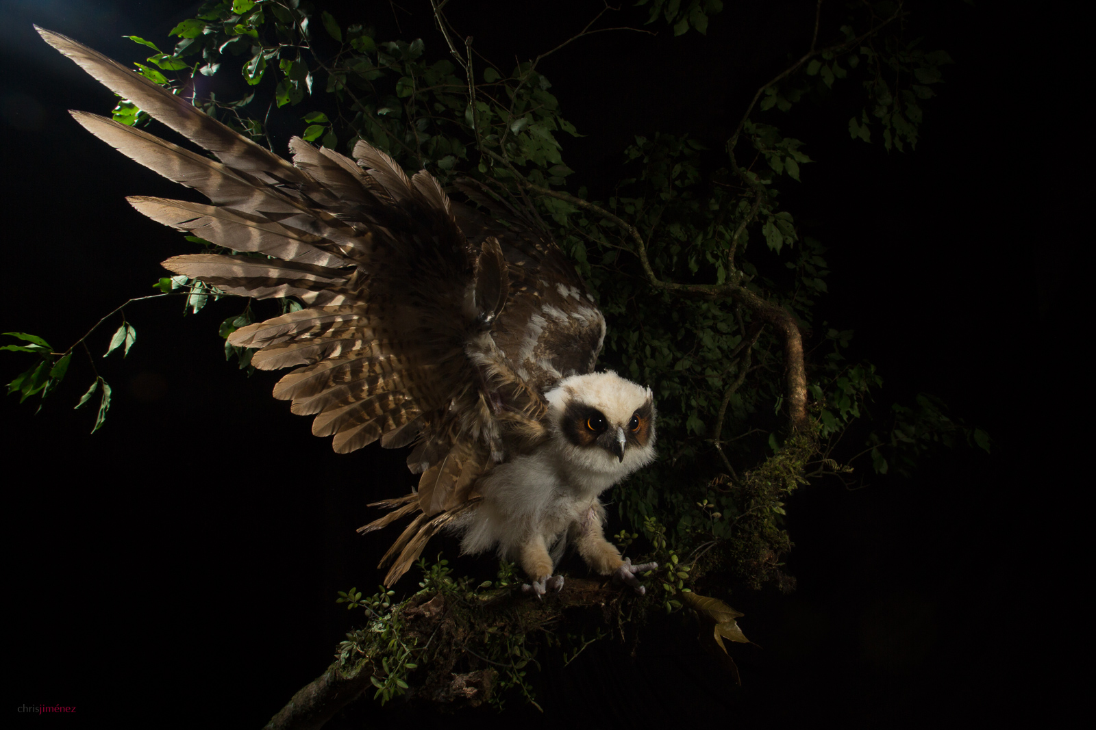 Crested Owl (Lophostrix cristata) juvenile, at night , landing in a branch at Cinchona, Costa Rica http://www.chrisjimenez.net