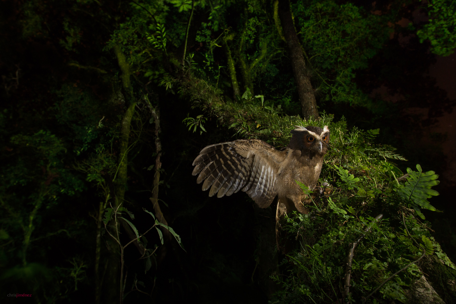 Crested Owl (Lophostrix cristata) at night landing in a branch at Cinchona, Costa Rica