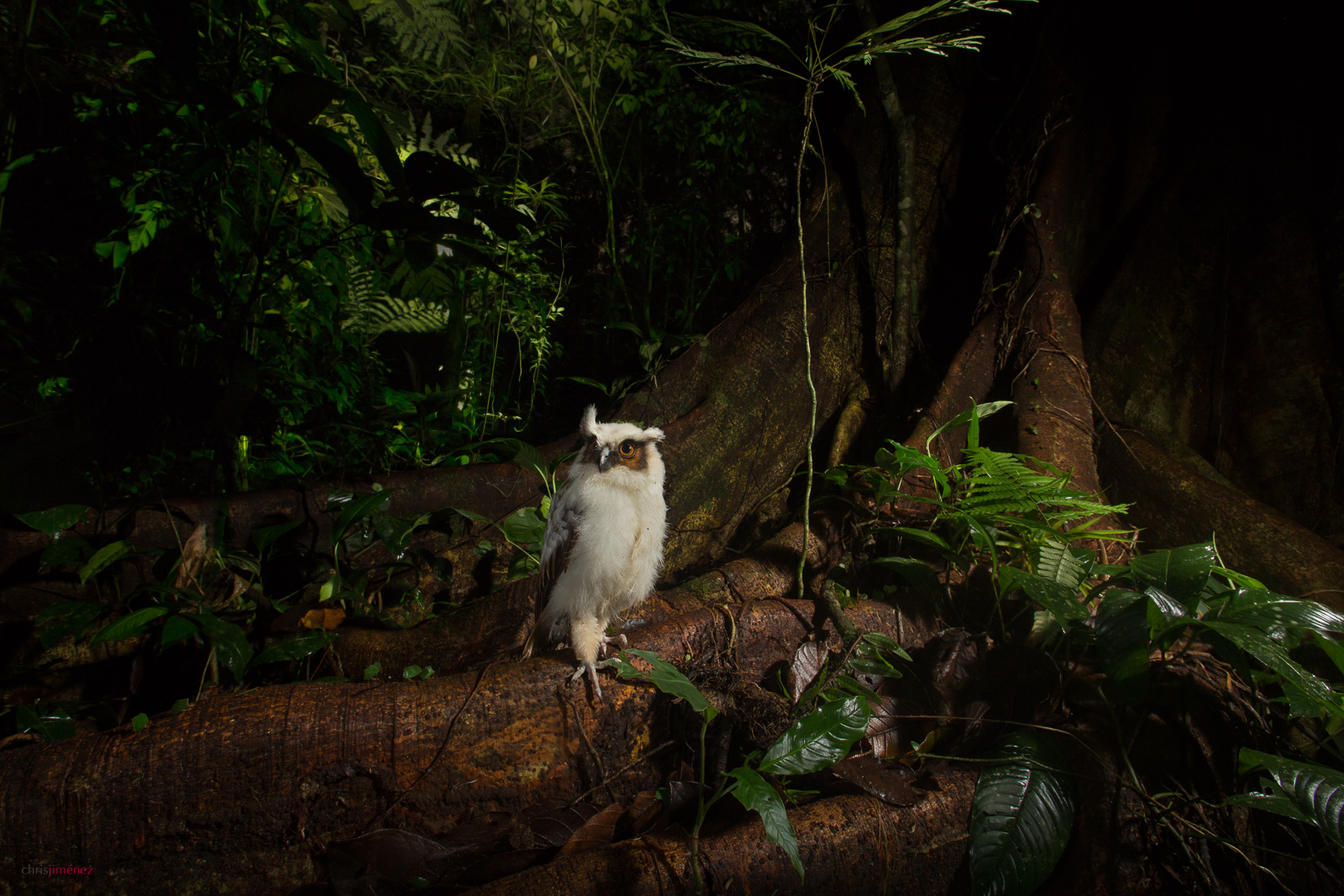Crested Owl (Lophostrix cristata) owlet perched on the ground at night at the lowlands of Costa Rica