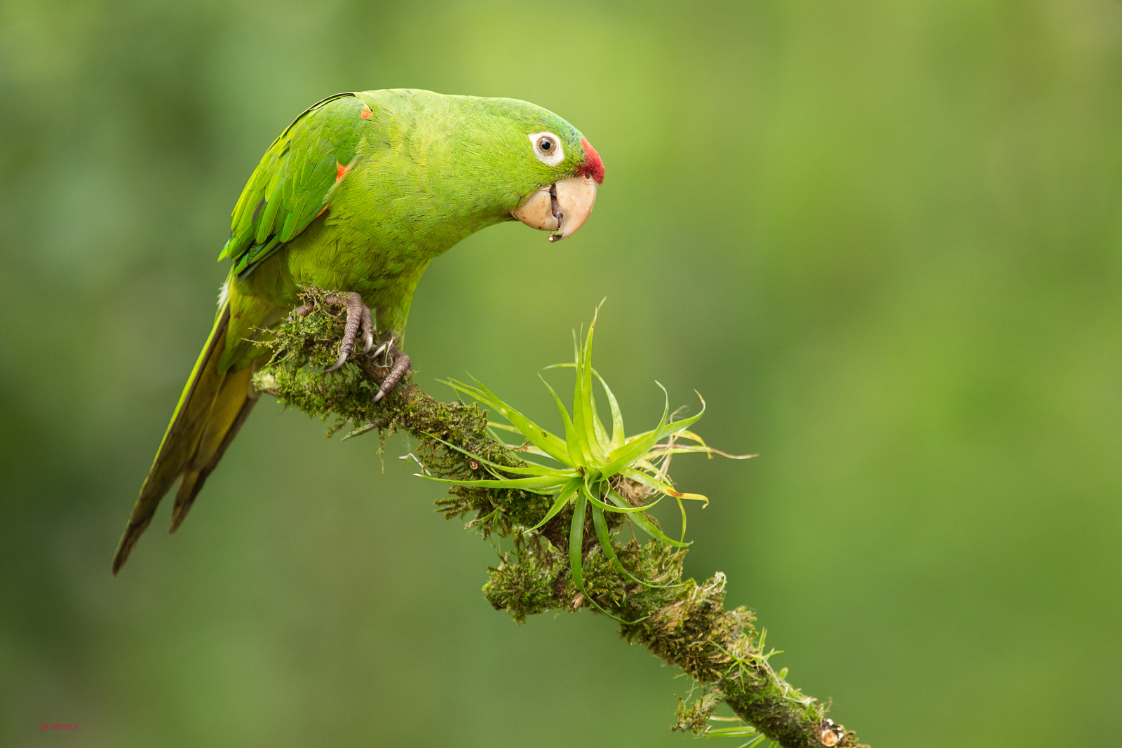 Crimson-fronted Parakeet (Psittacara finschi) perched on a branch at the low land forest of Costa Rica