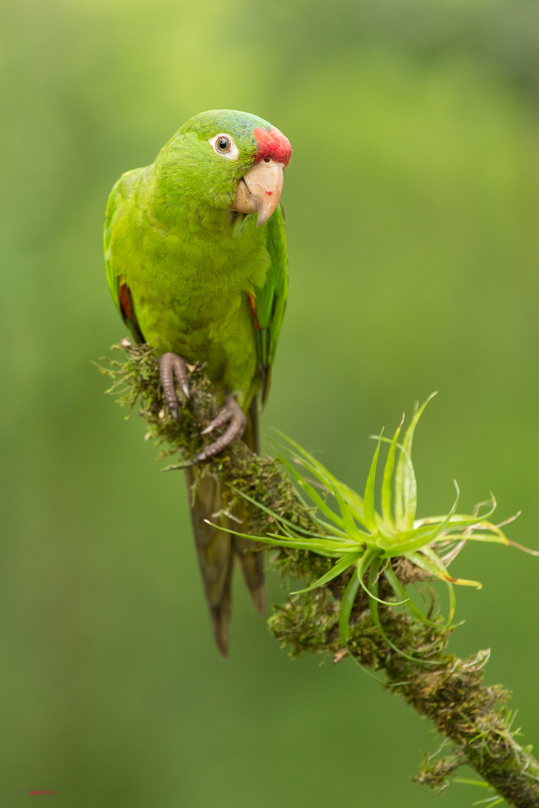 Crimson-fronted Parakeet (Psittacara finschi) perched on a branch at San Carlos, Costa Rica. For more visit http://www.chrisjimenez.net