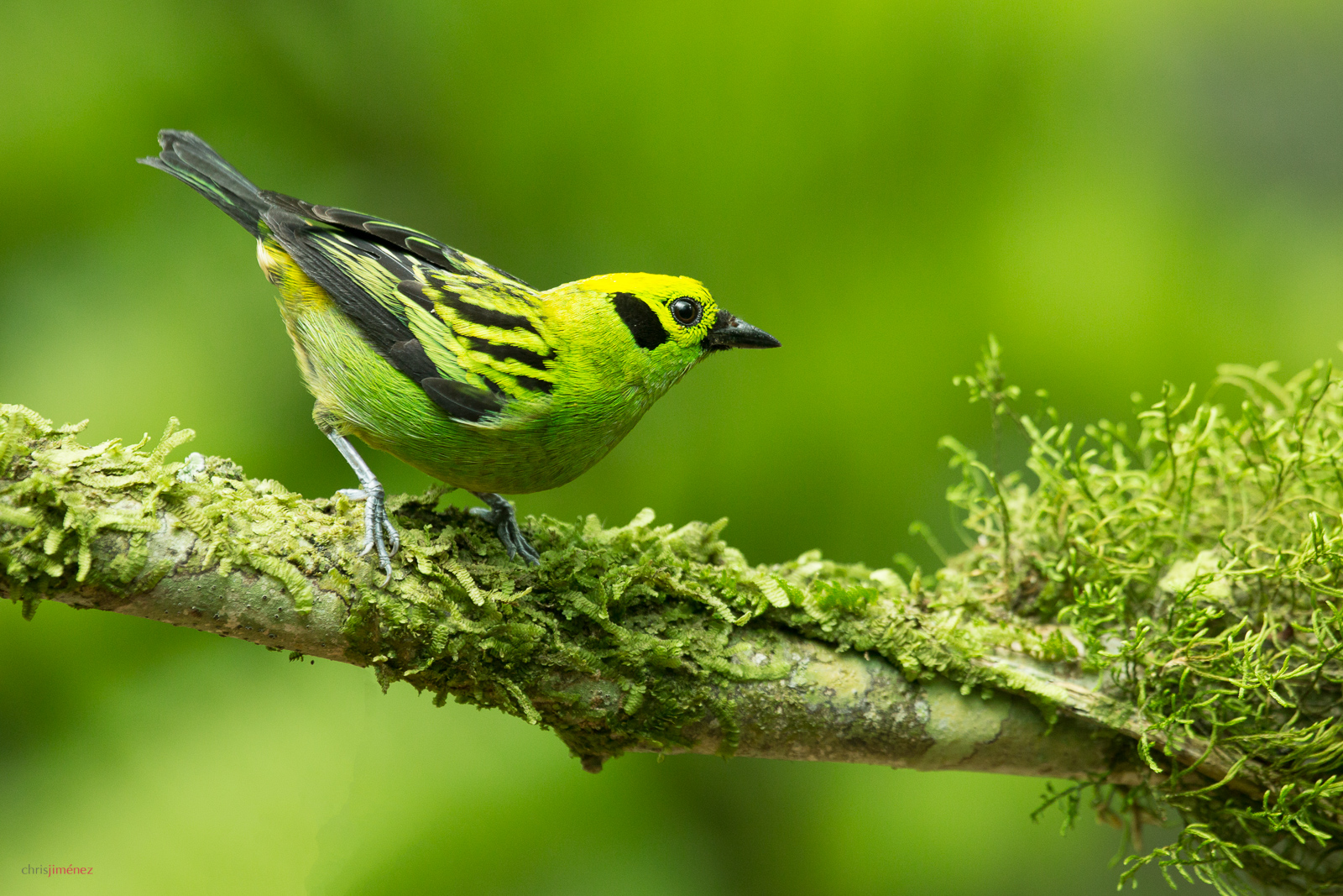 Emerald Tanager (Tangara florida) perched on a branch