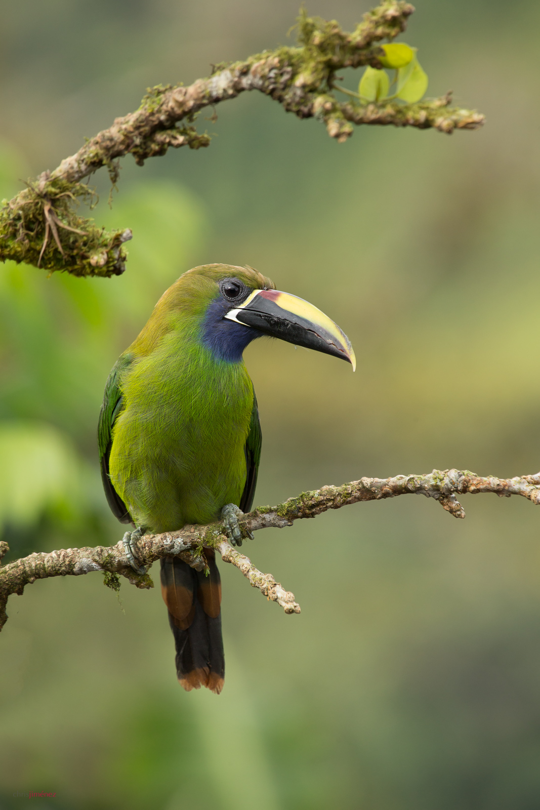 Emerald Toucanet (Aulacorhynchus prasinus) perched on a branch at the highlands of Costa Rica