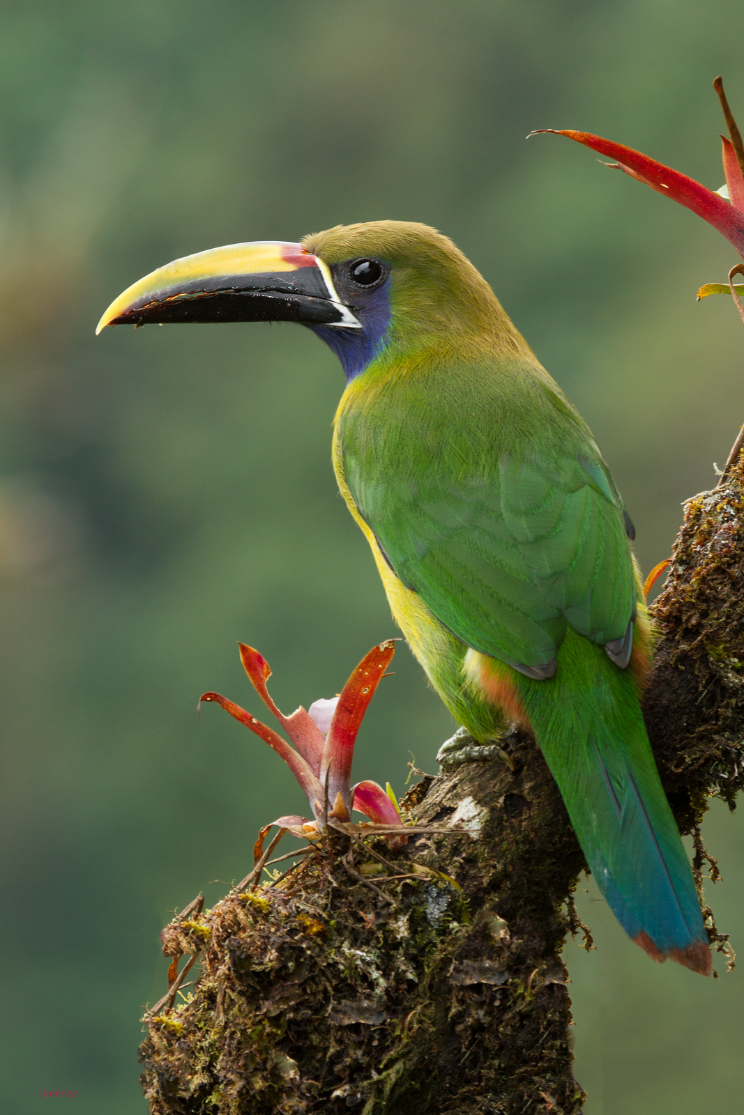 Emerald Toucanet (Aulacorhynchus prasinus) perched on a branch Virgen del Socorro, Costa Rica. For more visit http://www.chrisjimenez.net