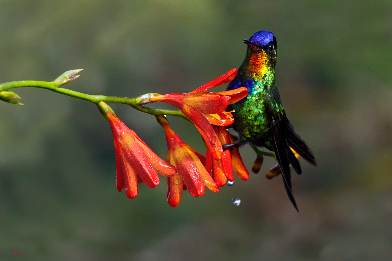 Fiery-throated Hummingbird Endemic from Costa Rica and Panama, Cerro de la Muerte, Costa Rica
