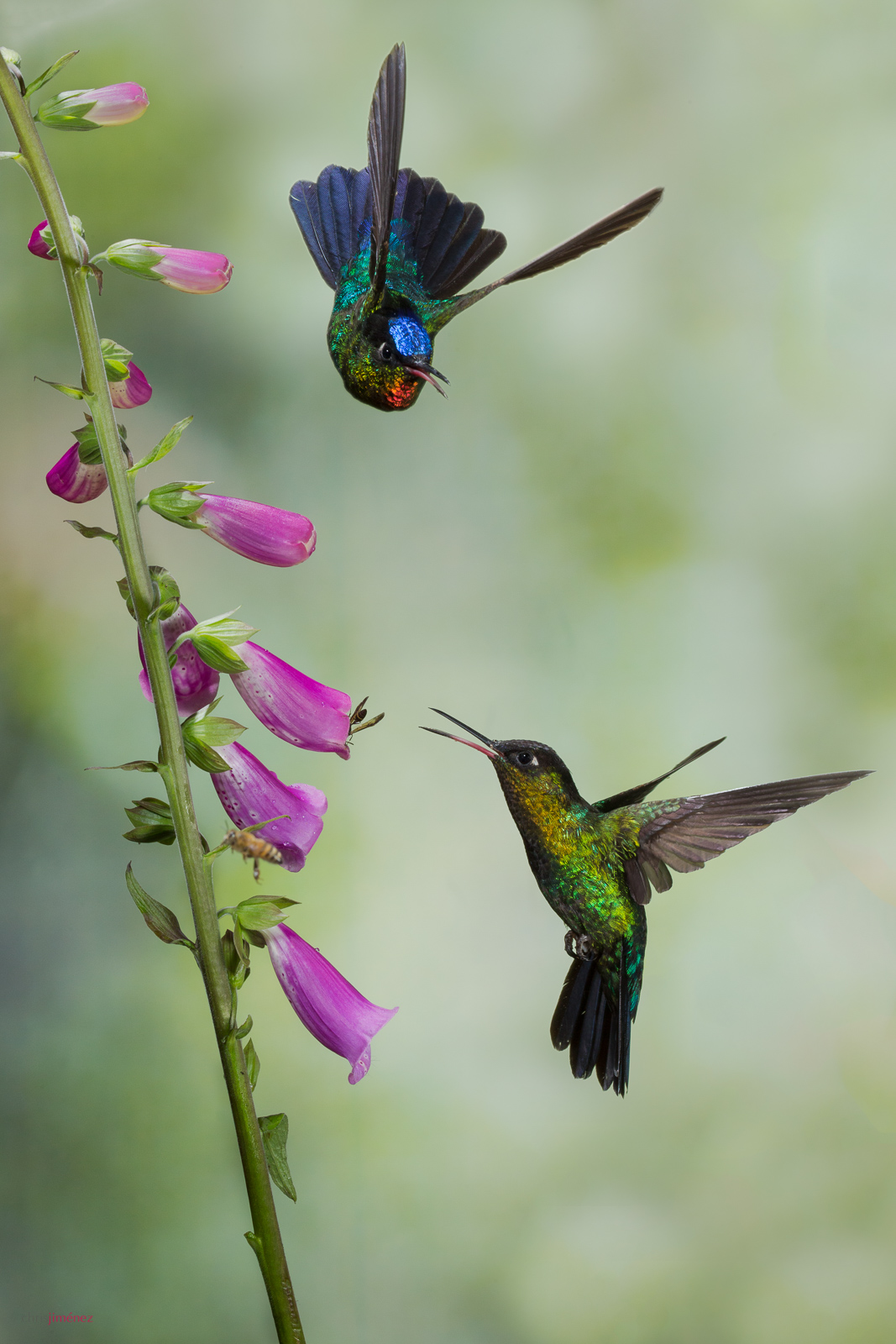 Fiery-throated Hummingbird (Panterpe insignis) feeding from flowers at Cerro de la Muerte, Costa Rica.