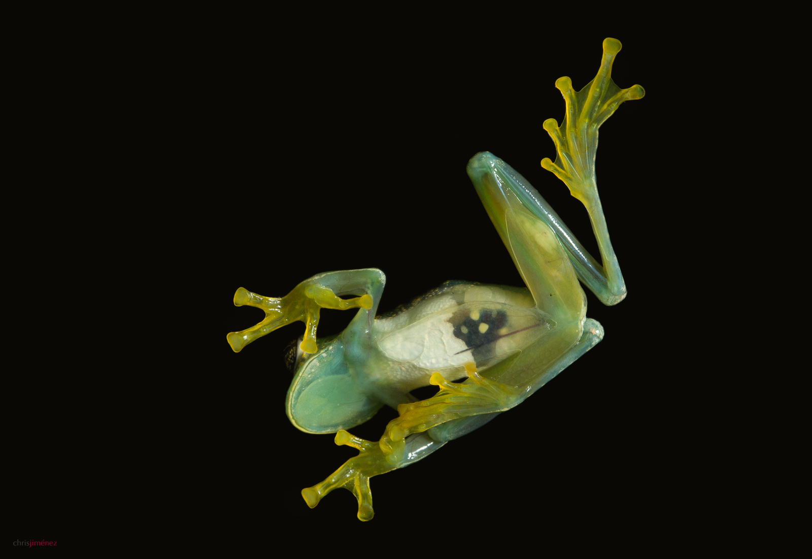 Glass Frog at night at the low lands of Costa Rica