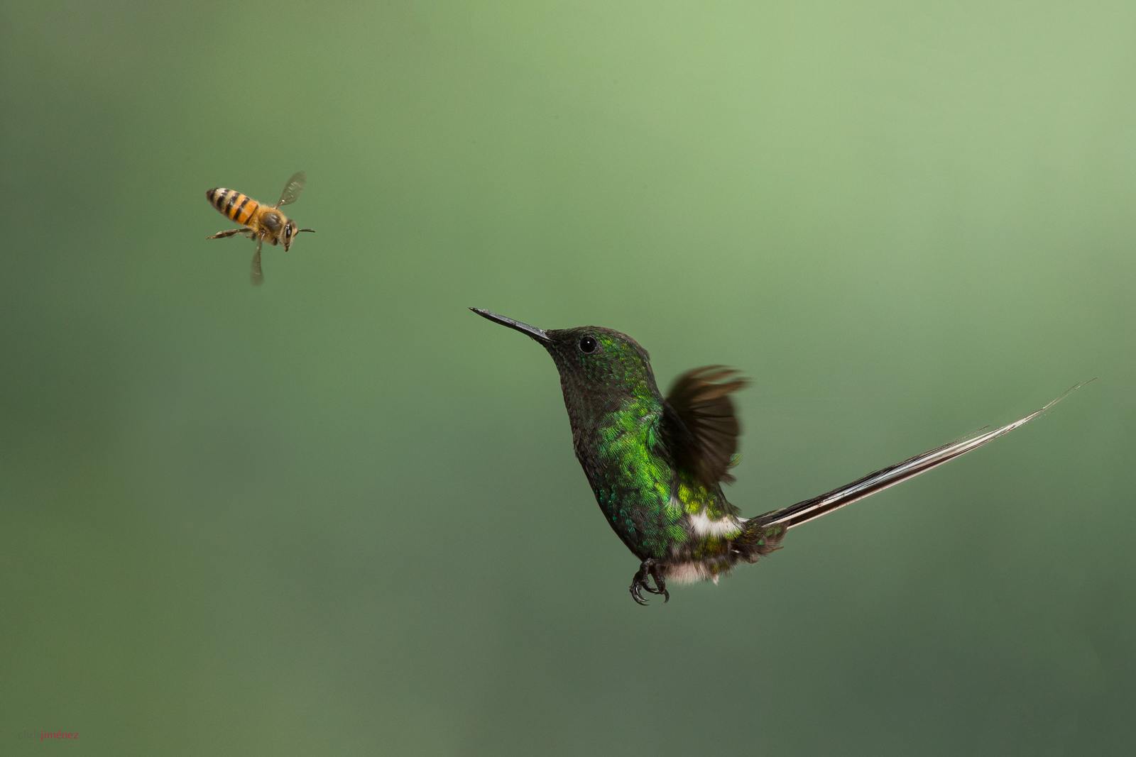 Green Thorntail (Discosura conversii) male in flight fighting bee at the highland of Costa Rica