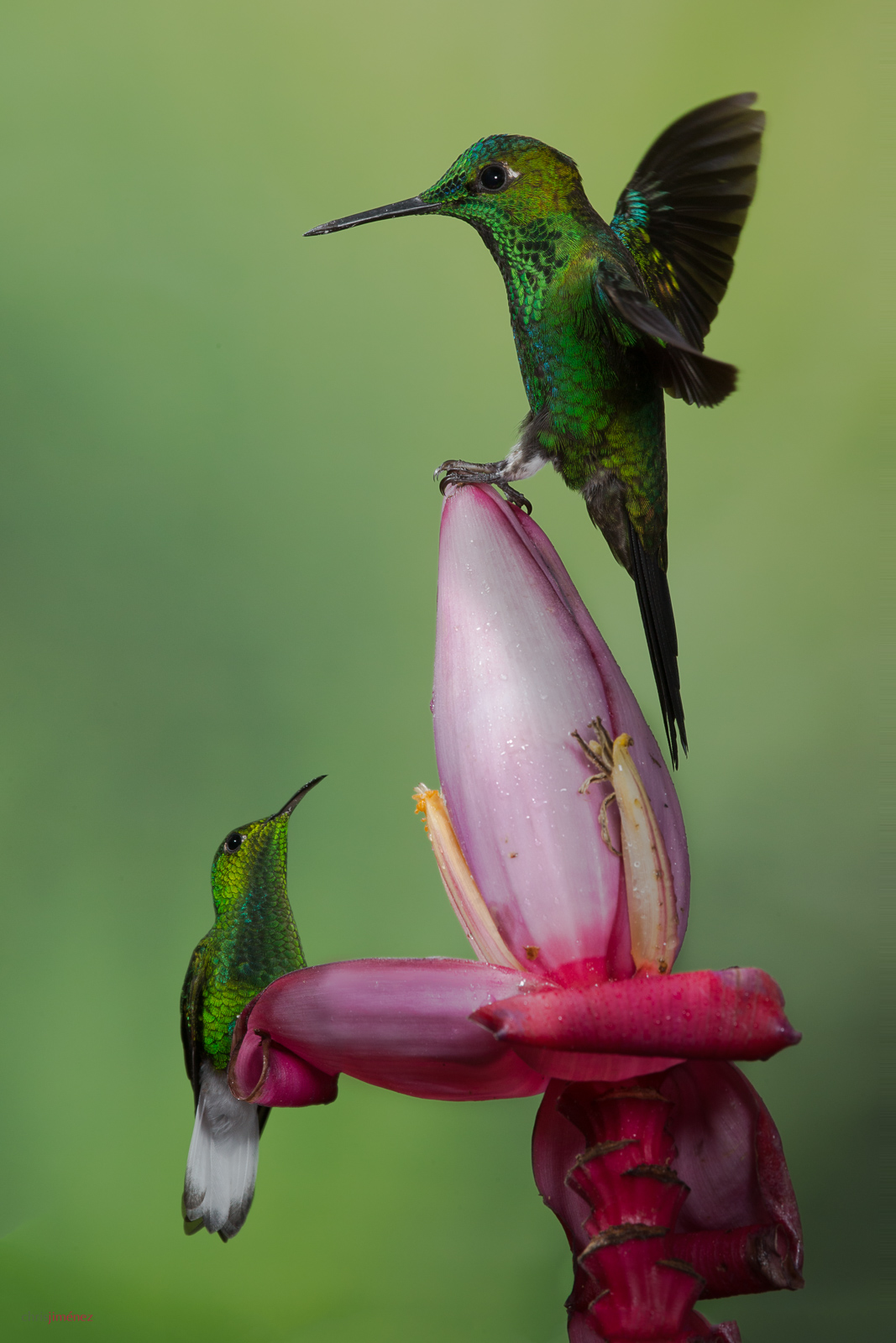 Two Hummingbirds Green-crowned Brilliant (Heliodoxa jacula) and Coppery-headed Emerald (Elvira cupreiceps) perched on a banana flower at the highlands of Costa Rica.