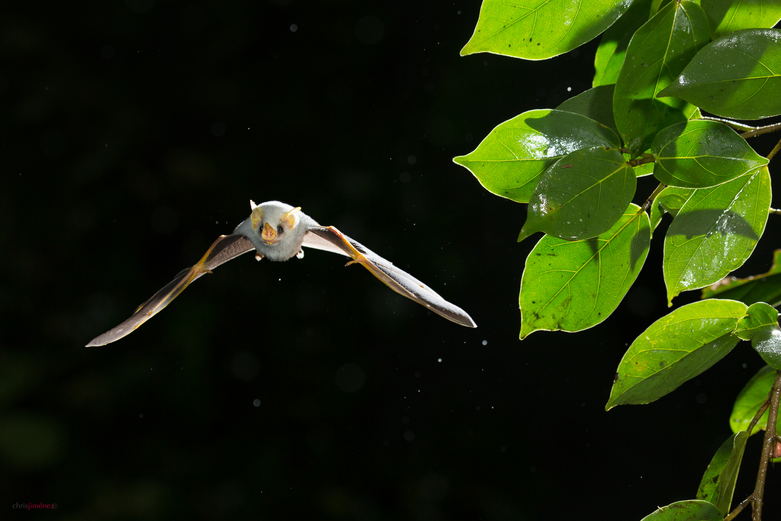 Honduran white bat tent (Ectophylla alba) in flight at the low lands of Costa Rica