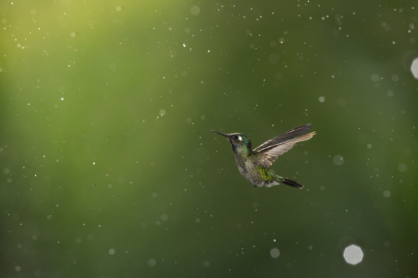 Violet-headed Hummingbird (Klais guimeti) flying through the rain at Braulio Carrillo National Park, at the lowlands of Costa Rica.