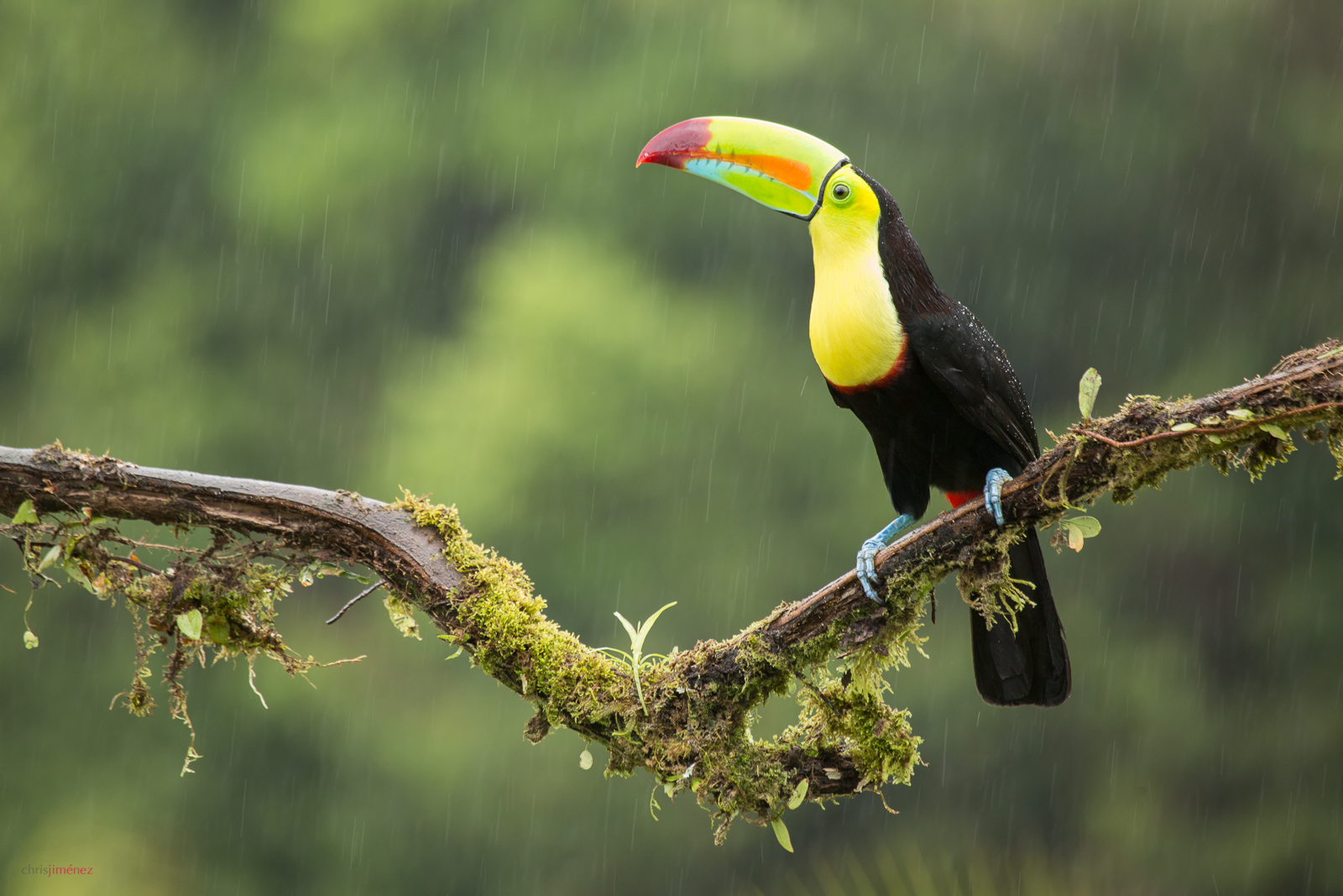 Keel-billed Toucan (Ramphastos sulfuratus) perched under the rain at the low lands of Costa Rica