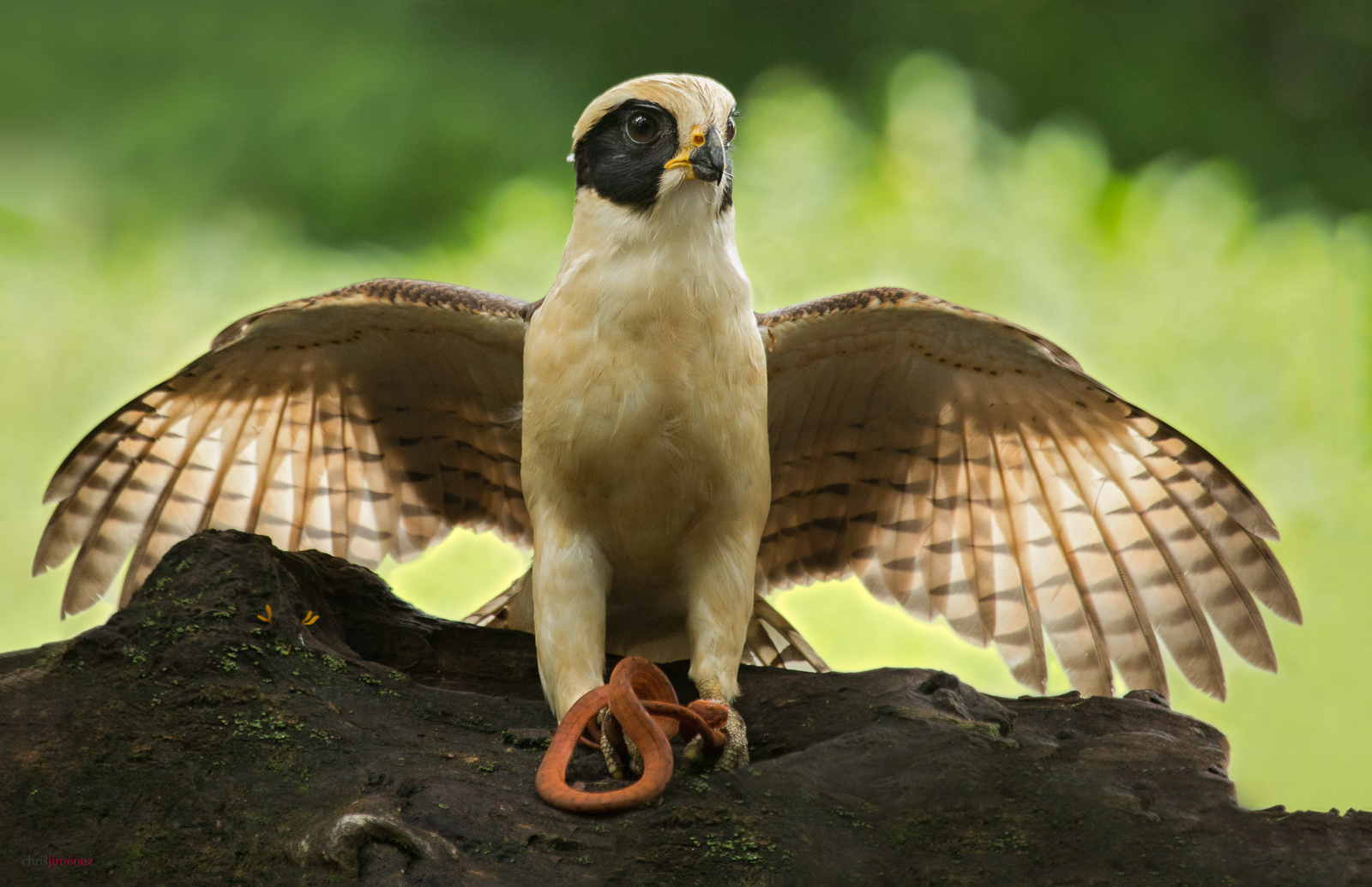 Laughing Falcon (Herpetotheres cachinnans) perched on a branch with snake at the low lands of Costa Rica