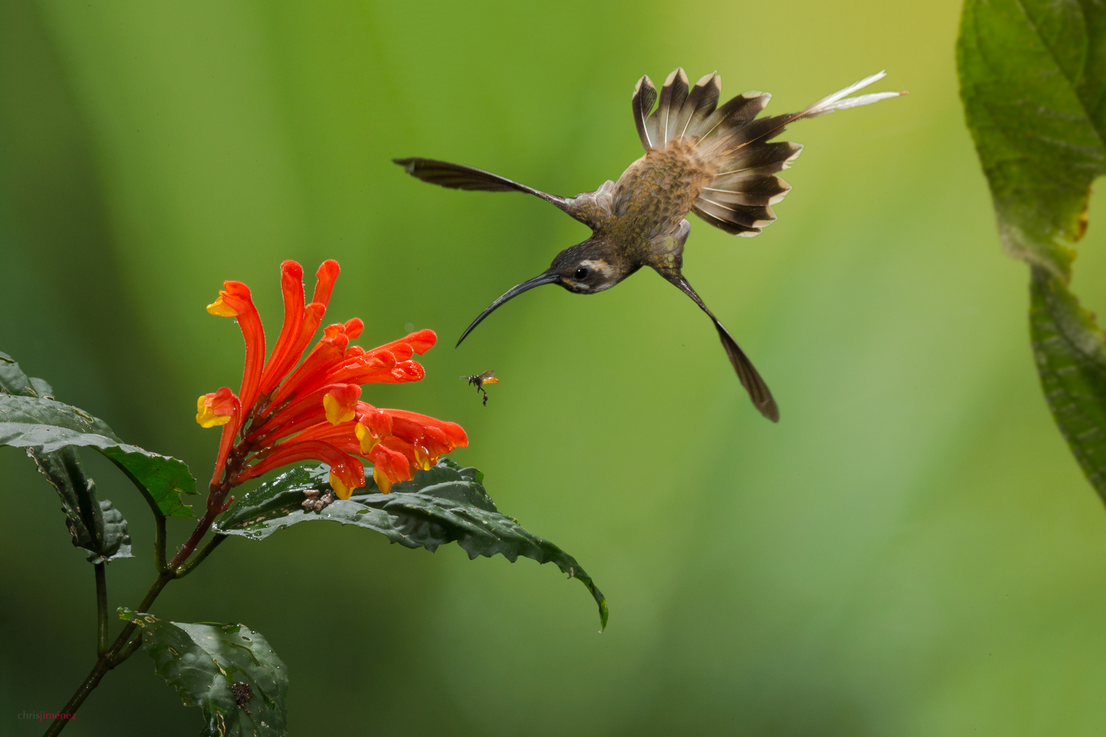 Long-billed Hermit (Phaethornis longirostris) feeding from flowers in flight at the lowlands of Costa Rica