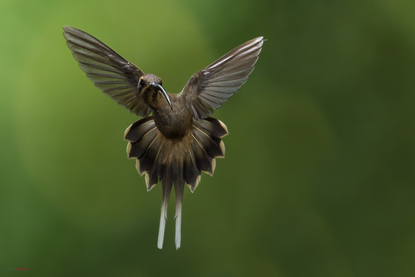 Long-billed Hermit (Phaethornis longirostris) in flight at the low lands of Costa Rica