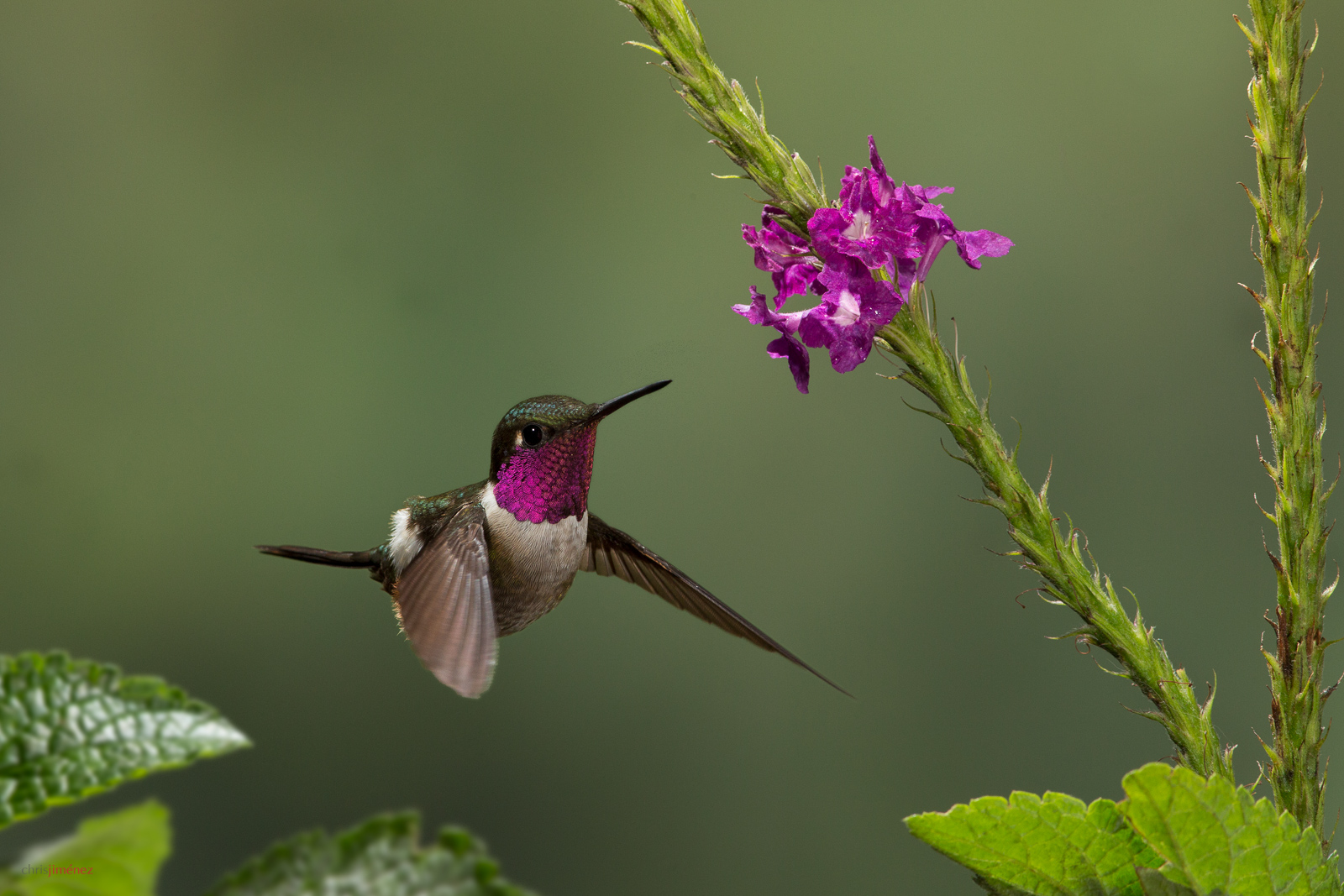 Magenta-throated Woodstar (Calliphlox bryantae) male feeding from flowers at the highlands of Costa Rica