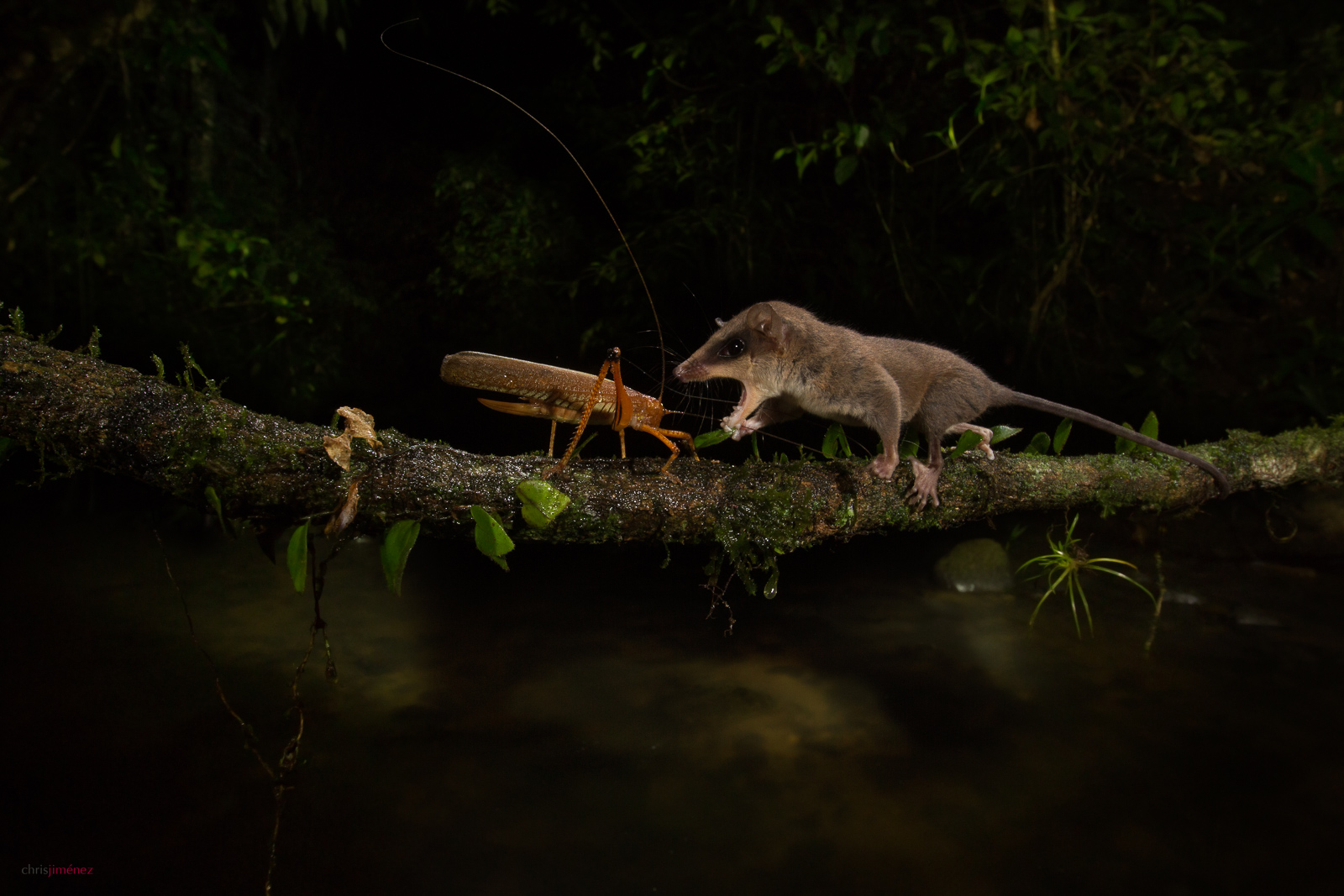 Mexican Mouse Opossum (Marmosa mexicana) catching a cricket at night over a river at the low lands of Costa Rica