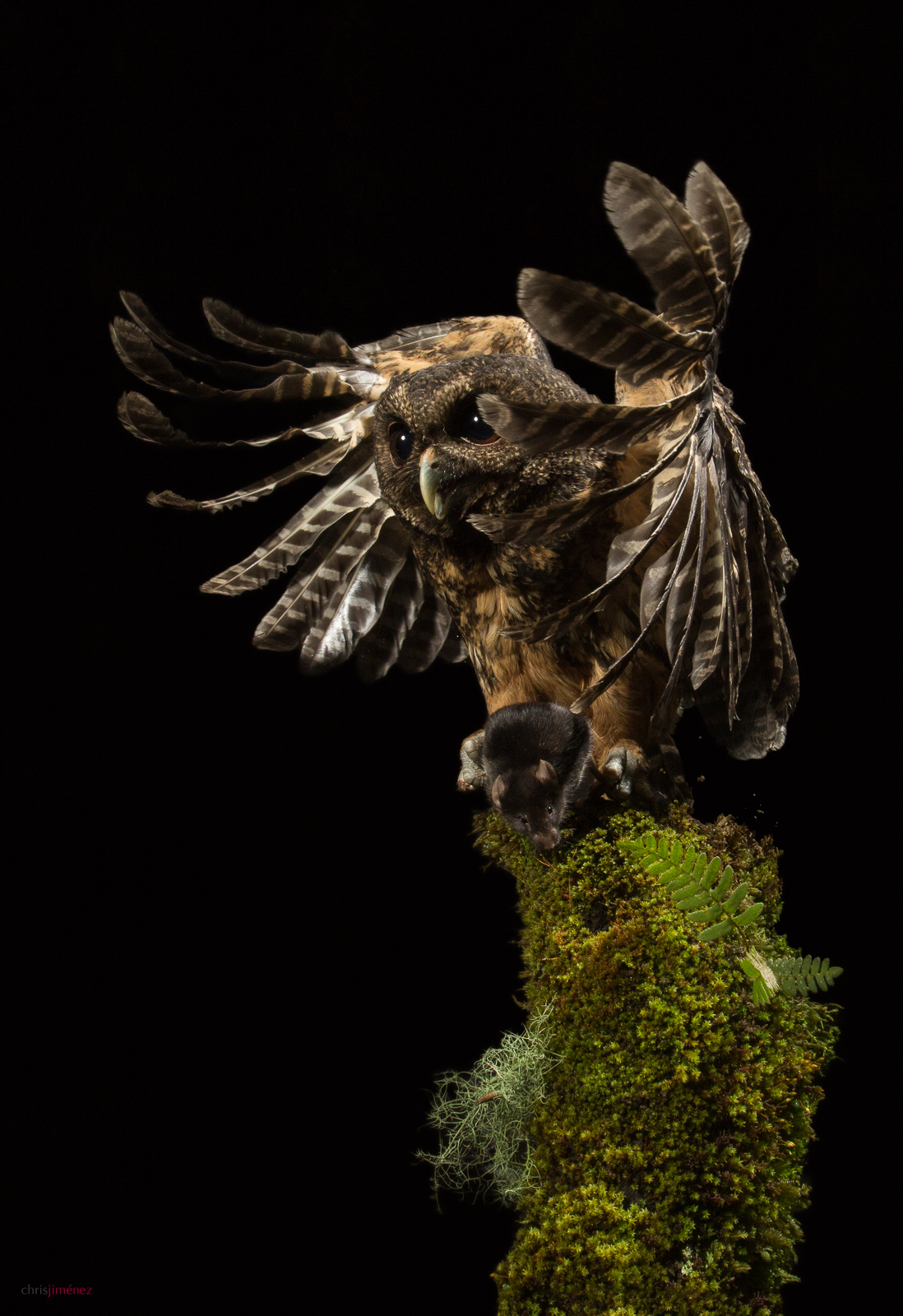 Mottled Owl (Ciccaba virgata) hunting at night in the highlands of Costa Rica.
