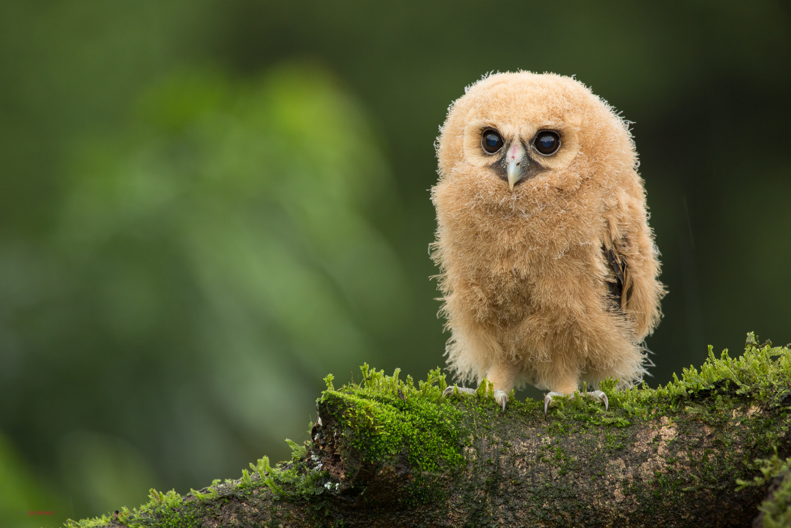 Mottled Owl (Ciccaba virgata) juvenile perched on a mossy branch at the highlands of Costa Rica