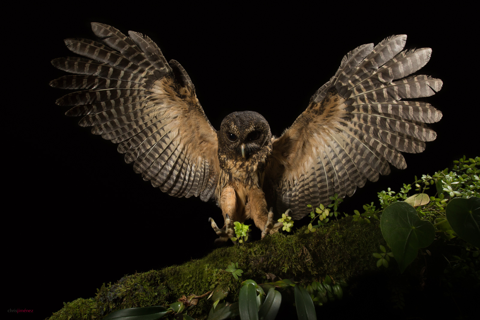 Mottled Owl (Ciccaba virgata) landing on a branch at night at the highlands of Costa Rica