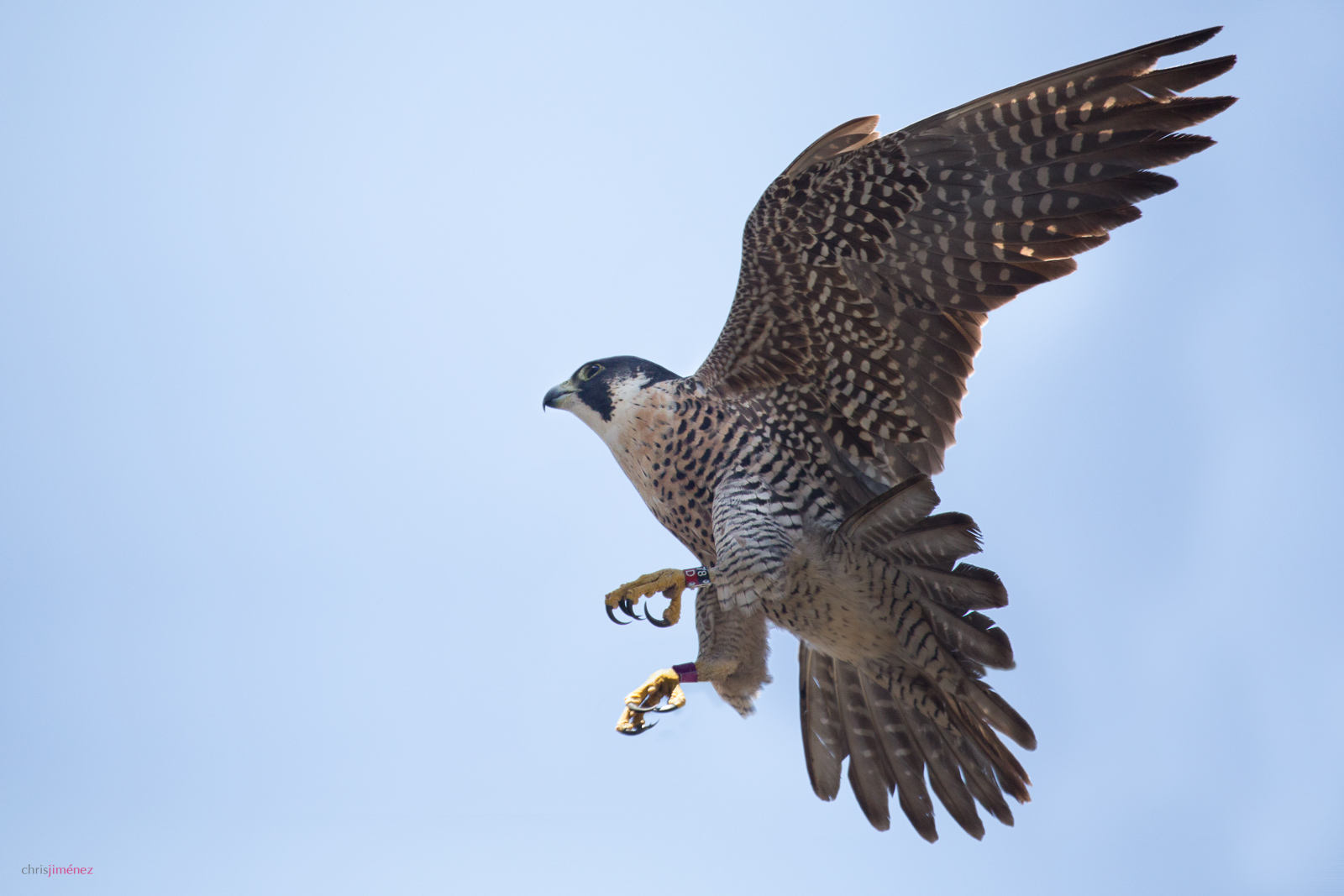 Peregrine Falcon (Falco peregrinus) at flight in Heredia, Costa Rica(Notice the banding on the legs)