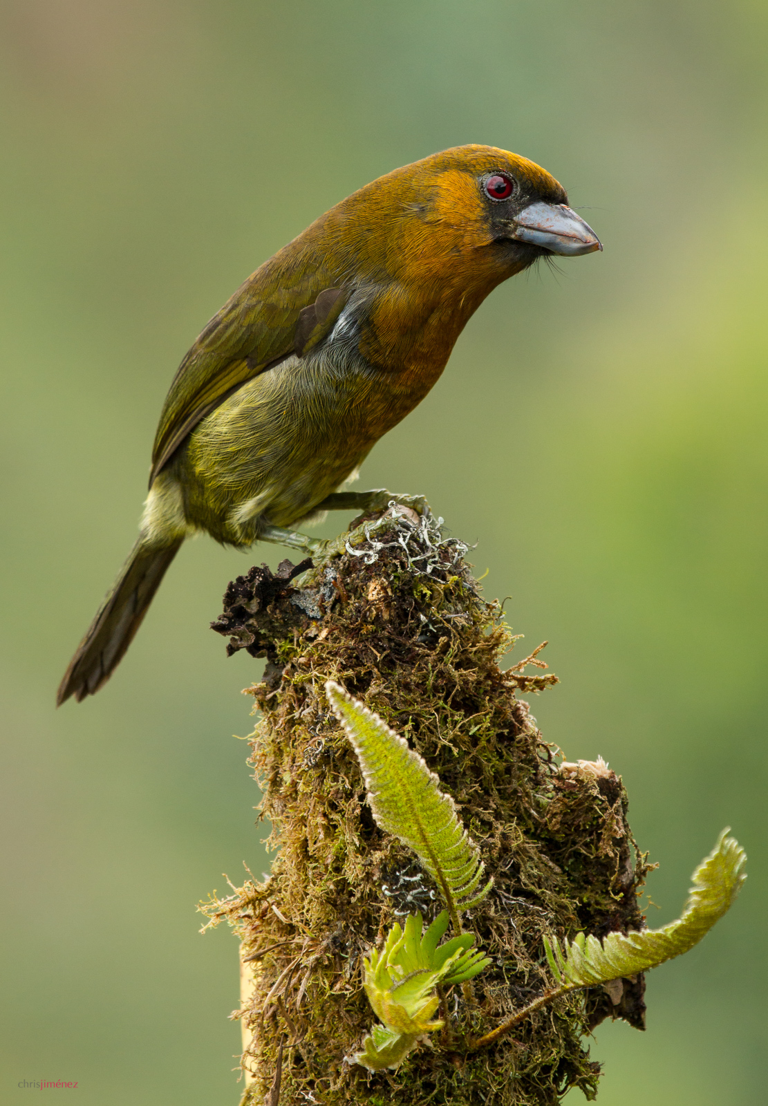Prong-billed Barbet (Semnornis frantzii)perched on a Banana tree, in Cinchona , Costa Rica.