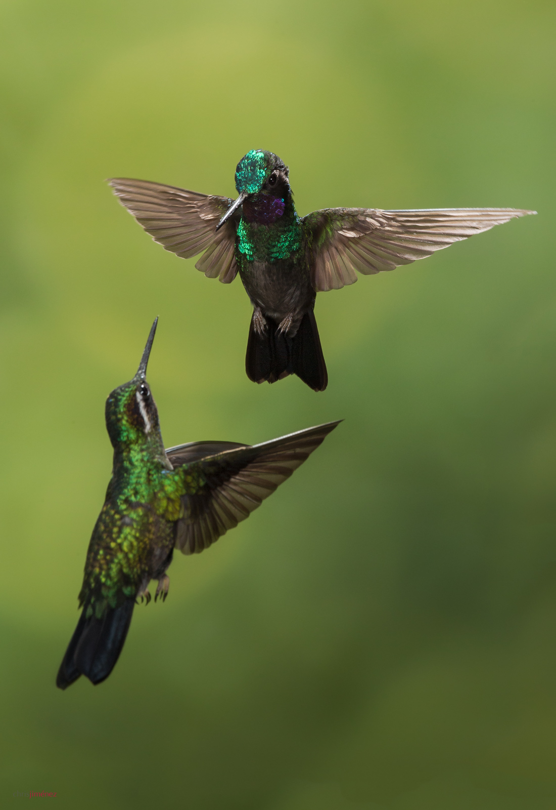 Purple-throated Mountaingem (Lampornis calolaemus) males defending its territory at the highlands of Costa Rica