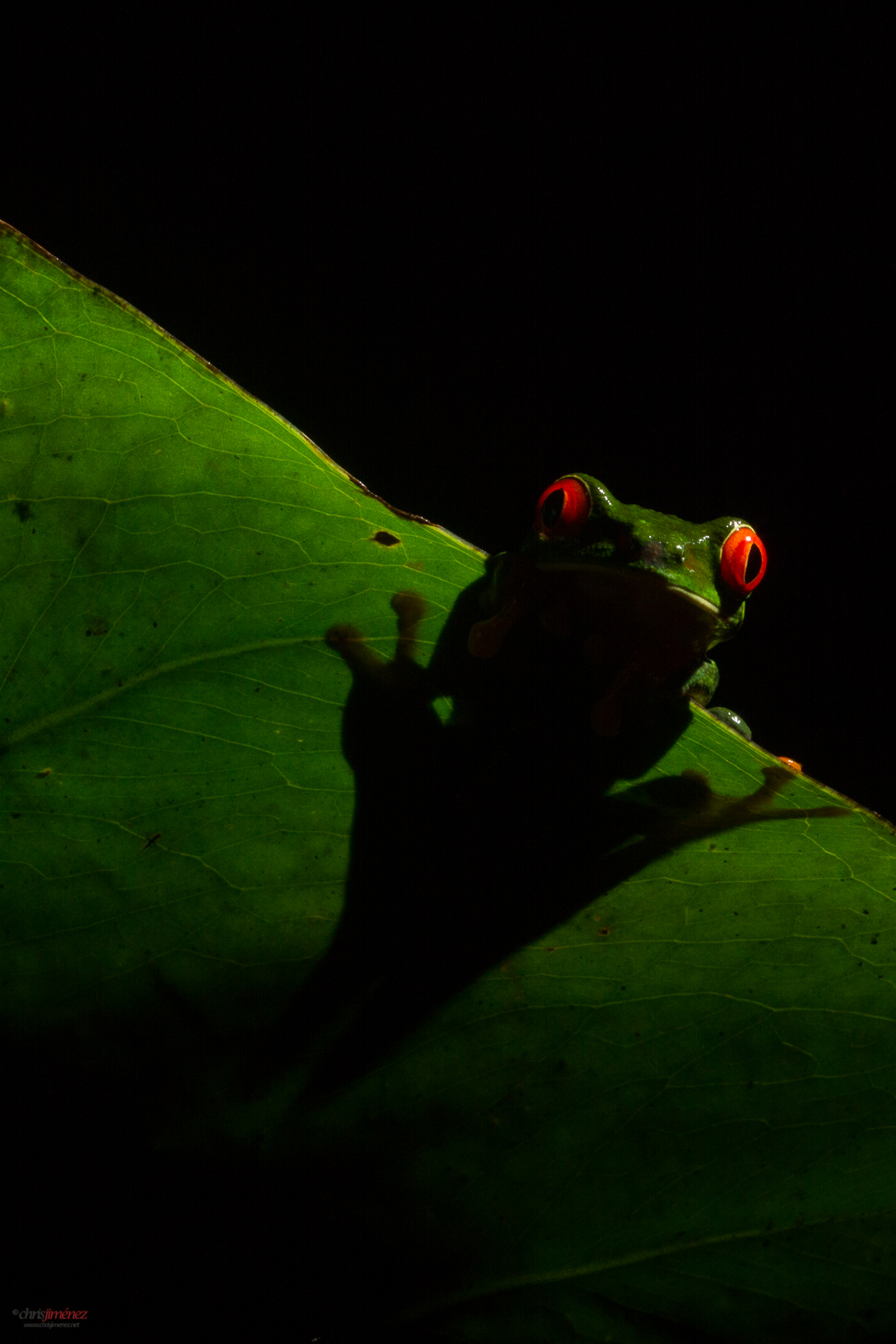 Red-eyed tree frog (Agalychnis callidryas) holding from a leaf in the night at the low lands of Costa Rica
